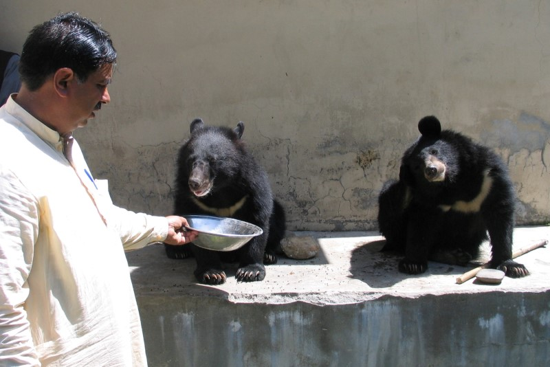 Mohammad Ashraf, assistant game warden, feeds a pair of Asian black bears, rescued a year ago near the Line of Control (LoC), at the Wildlife and Fisheries department in a Dawarian village in Neelum Valley, Pakistan-administrated Kashmir, June 12, 2021. Picture taken June 12, 2021. REUTERS/Abu Arqam Naqash  NO RESALES. NO ARCHIVES