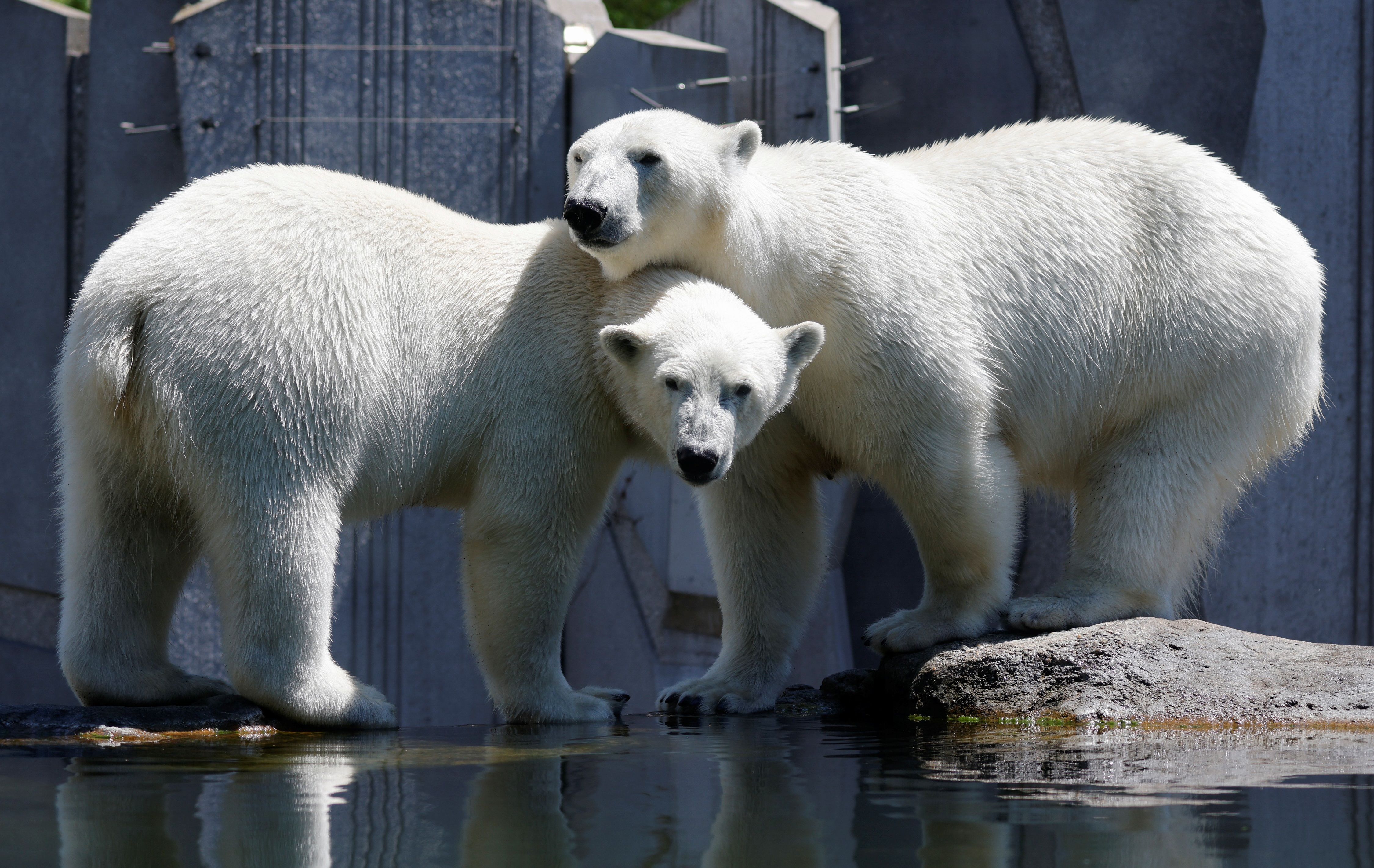 Polar bears look on in their enclosure at Schoenbrunn Zoo on a sunny day in Vienna, Austria June 17, 2021.  REUTERS/Leonhard Foeger