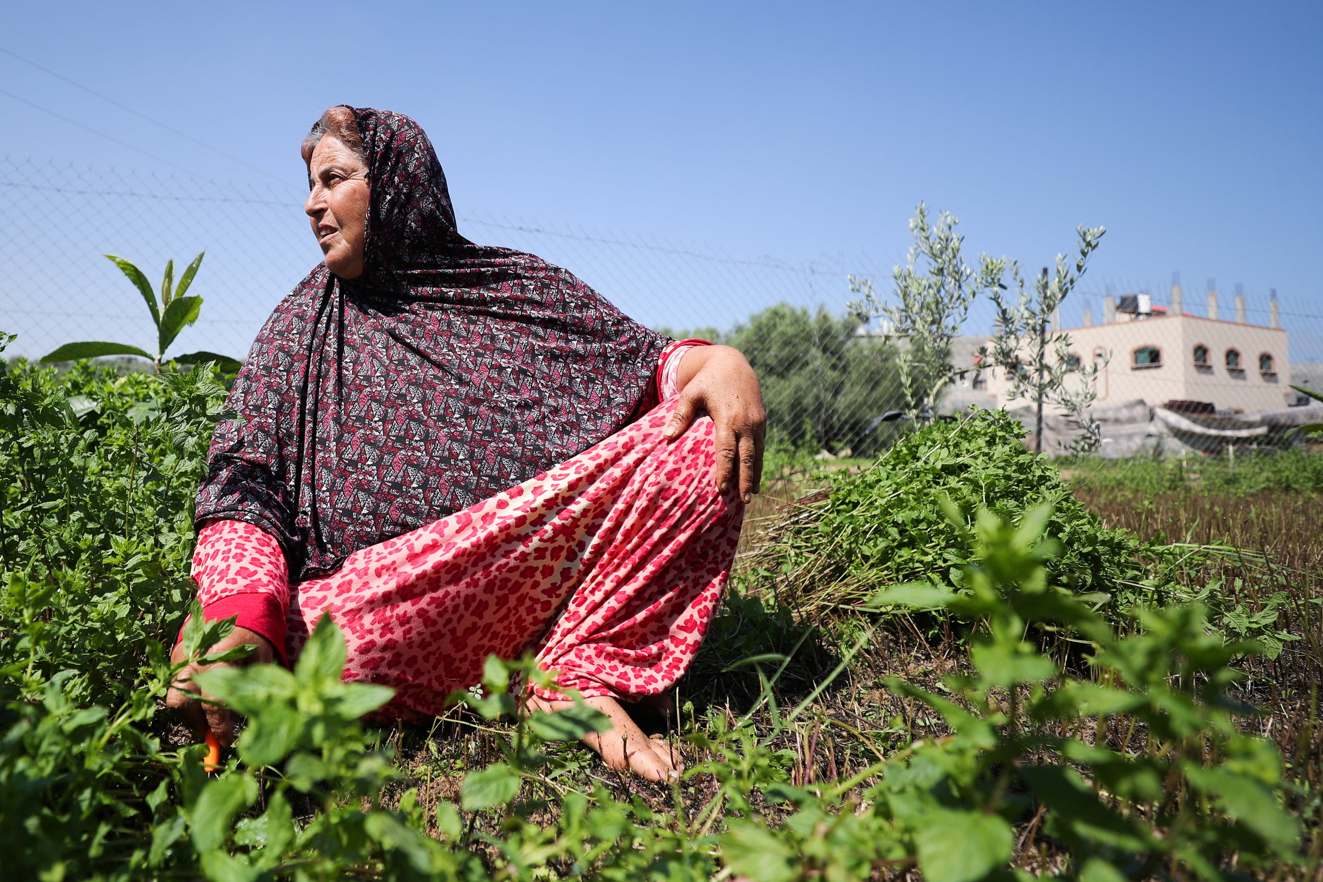 A Palestinian woman cuts mint in her family land, in Beit Lahiya town in the northern Gaza Strip July 28, 2021. REUTERS/Mohammed Salem