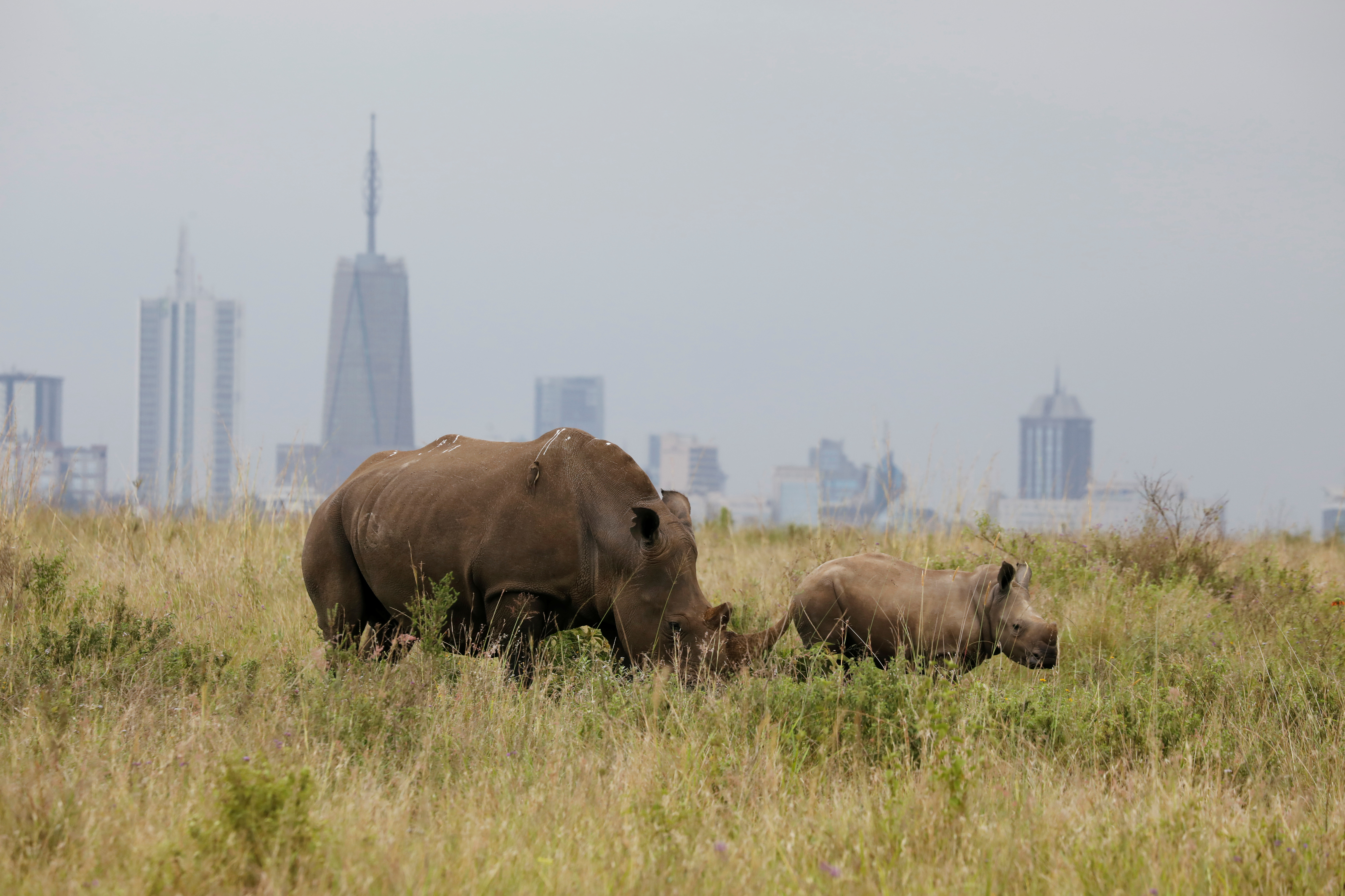 A southern white rhino and her calf are seen inside the Nairobi National Park with the Nairobi skyline in the background, in Nairobi, Kenya June 15, 2020. Picture taken June 15, 2020. REUTERS/Baz Ratner