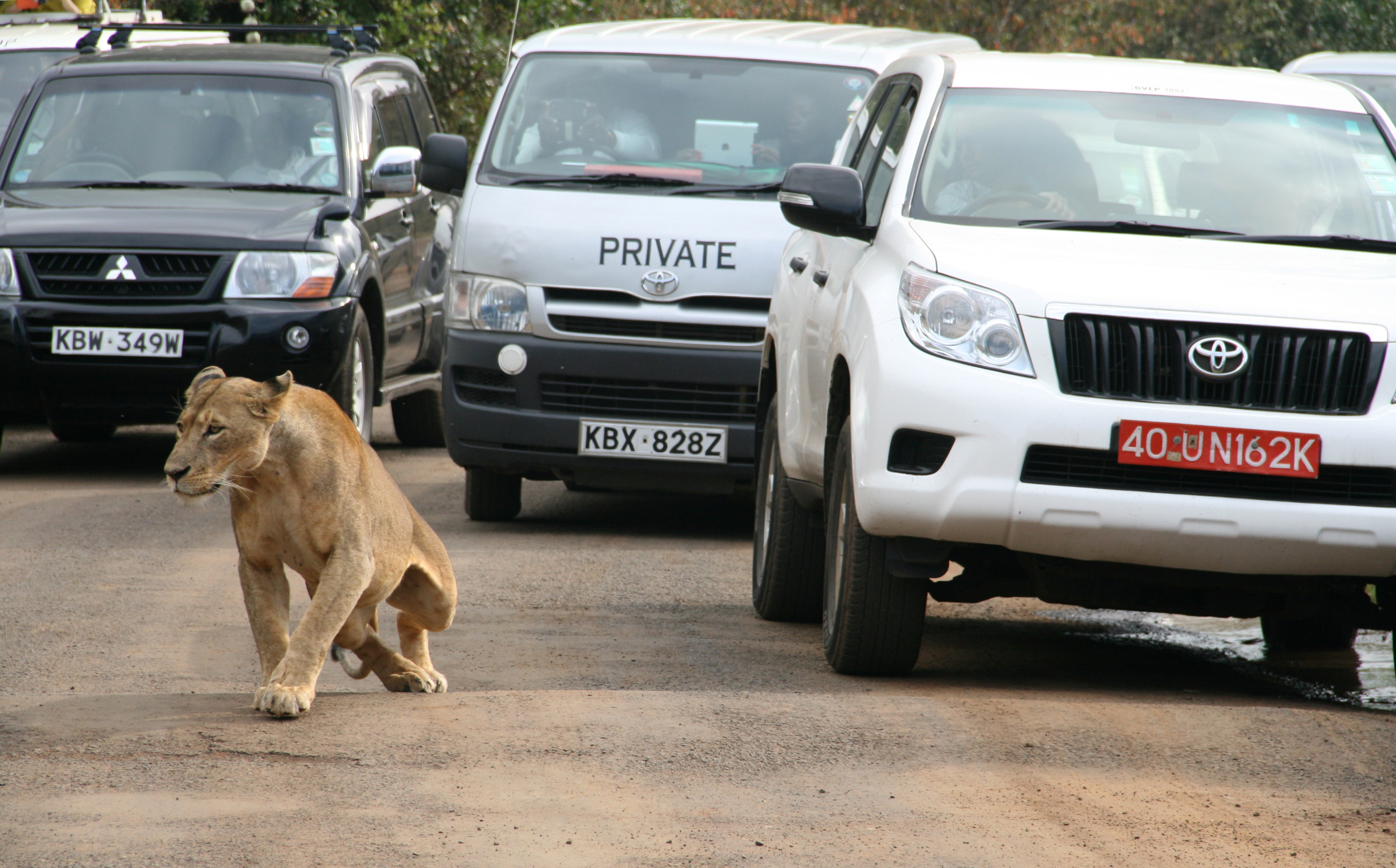A lioness walks along a road as visitors sit in their vehicles at Nairobi's National Park in Kenya's capital Nairobi, July 12, 2014. REUTERS/Edmund Blair