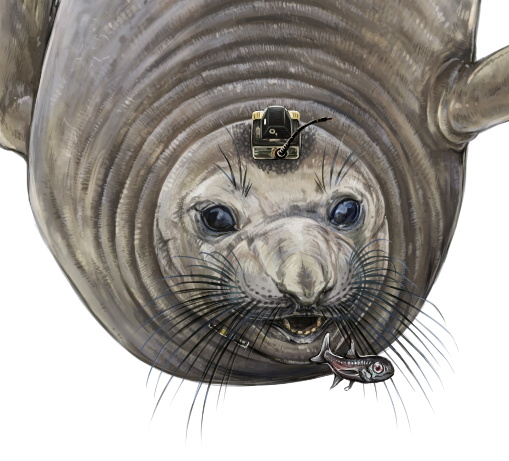 A female northern elephant seals equipped with bio-logging electronic tags to track its deep-ocean foraging behaviour is depicted in an undated illustration. Danielle Dube/Handout via REUTERS