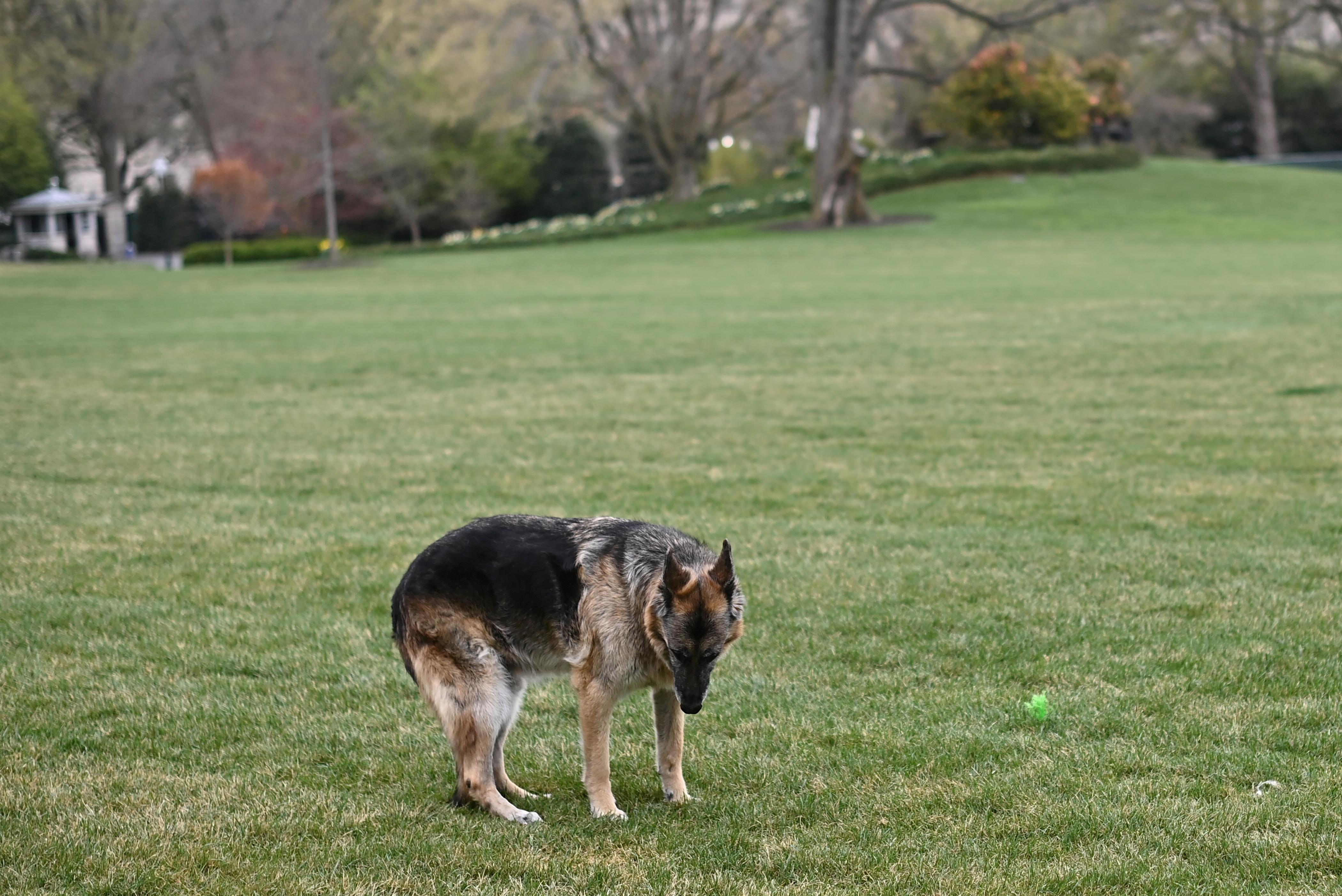 U.S. President Joe Biden's dog Champ is seen on the South Lawn of the White House in Washington, D.C., U.S., March 31, 2021. Mandel Ngan/Pool via REUTERS/File Photo