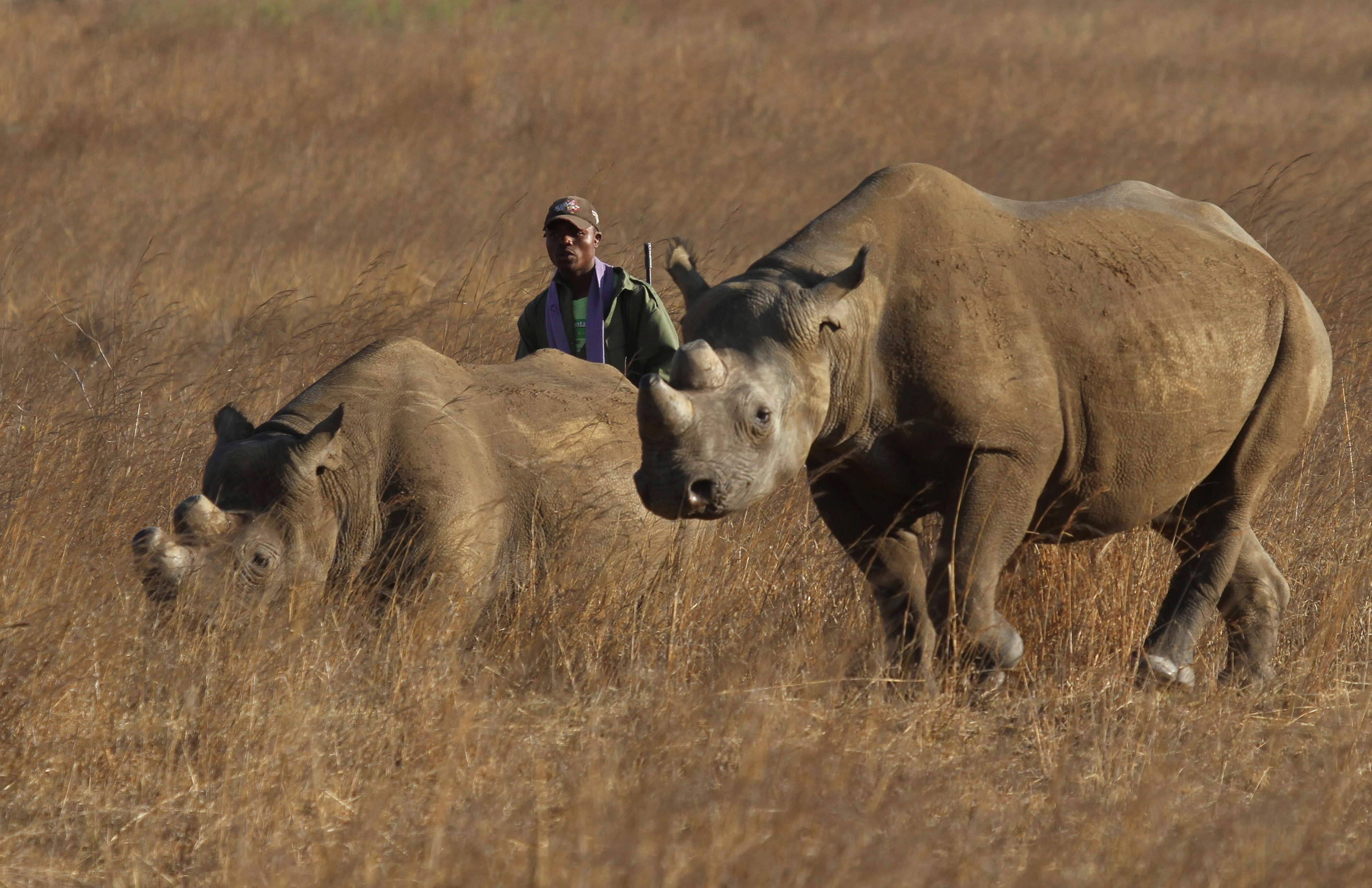 A ranger walks behind a pair of black rhinoceros at the Imire Rhino and Wildlife Conservation Park near Marondera, east of the capital Harare, September 22, 2014.  The population of the species has dwindled due to poaching activities. REUTERS/Philimon Bulawayo/File Photo