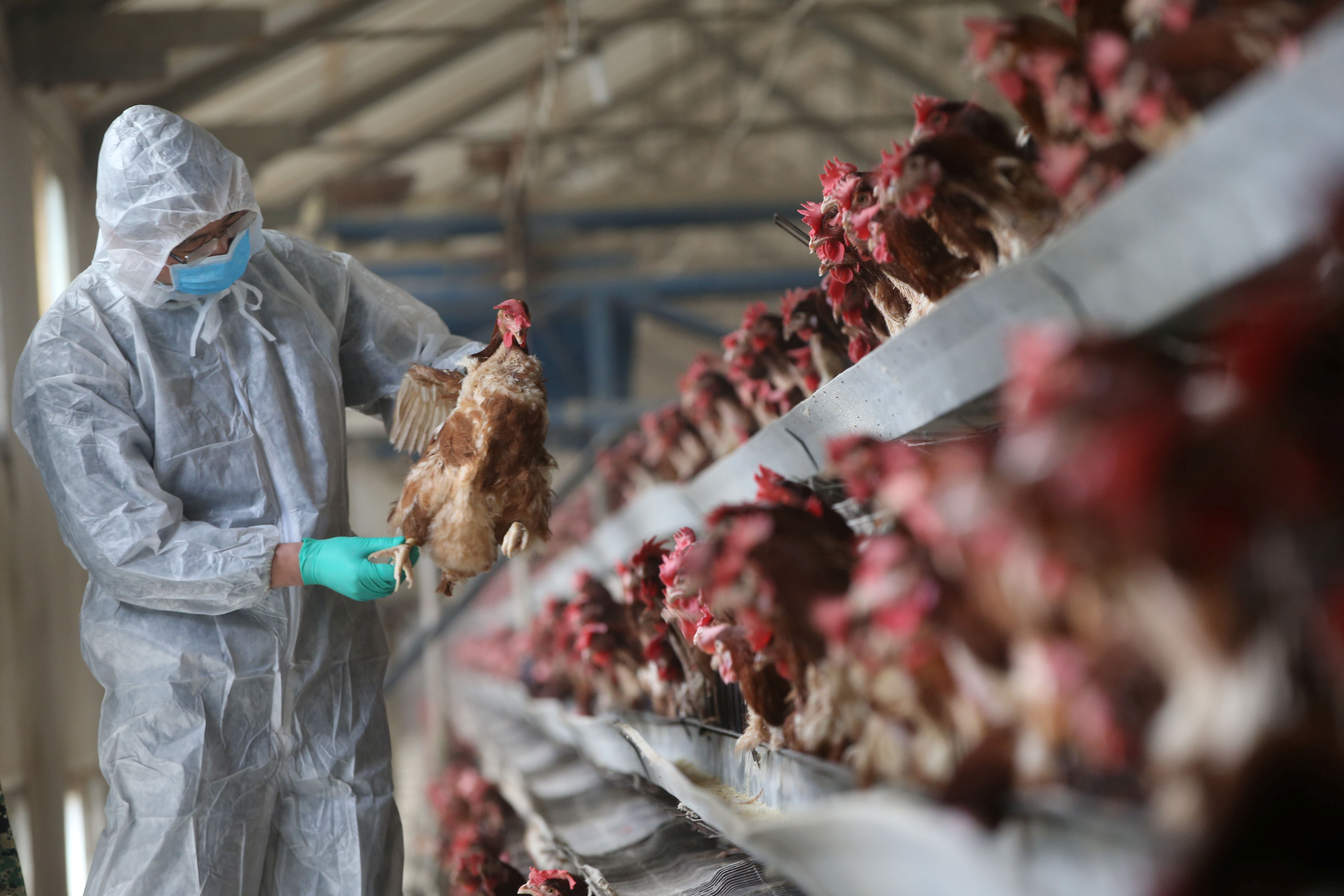 A quarantine researcher checks on a chicken at a poultry farm in Xiangyang, Hubei province, China, February 3, 2017.  REUTERS/Stringer