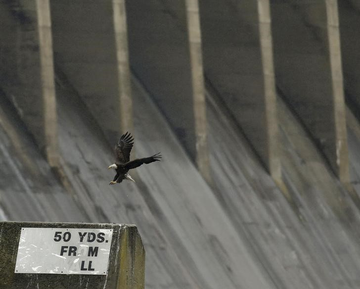 A bald eagle lands on a concrete barrier at the Conowingo Dam on the Susquehanna River in Maryland November 26, 2013. REUTERS/Gary Cameron