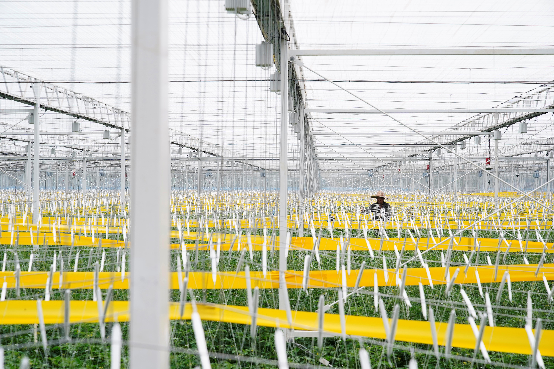 A farmer examines tomatoes at Hengda greenhouse in Shanghai, China May 25, 2021. REUTERS/Aly Song