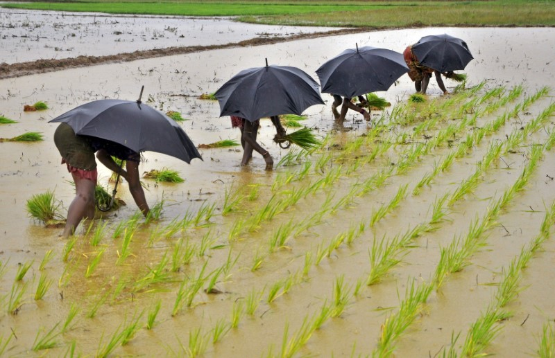 Labourers plant saplings in a paddy field on the outskirts of the eastern Indian city of Bhubaneswar in this July 19, 2014. REUTERS/Stringer/File Photo