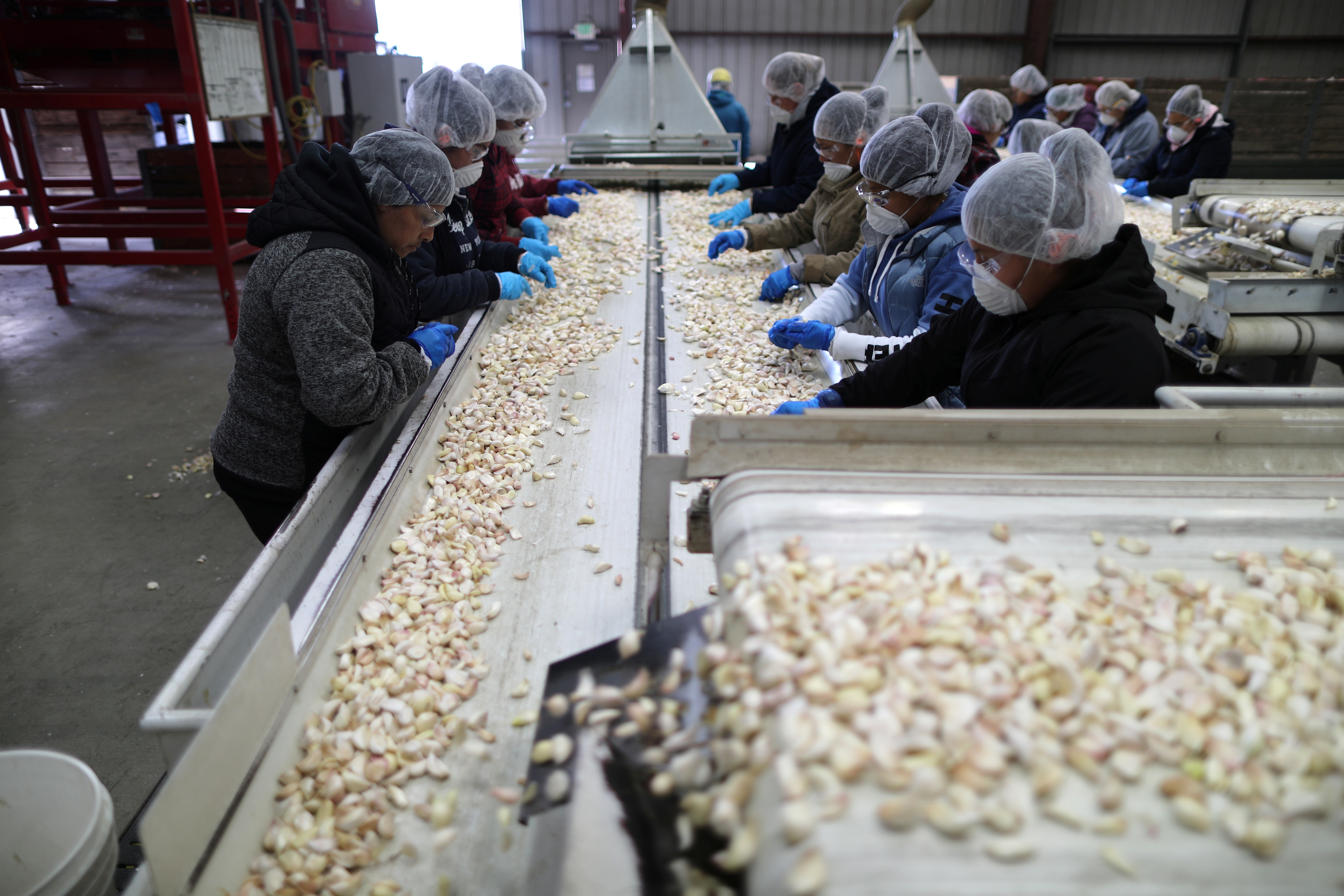 Garlic is harvested at Christopher Ranch in Gilroy, California, U.S., March 29, 2019. Picture taken March 29, 2019. REUTERS/Lucy Nicholson