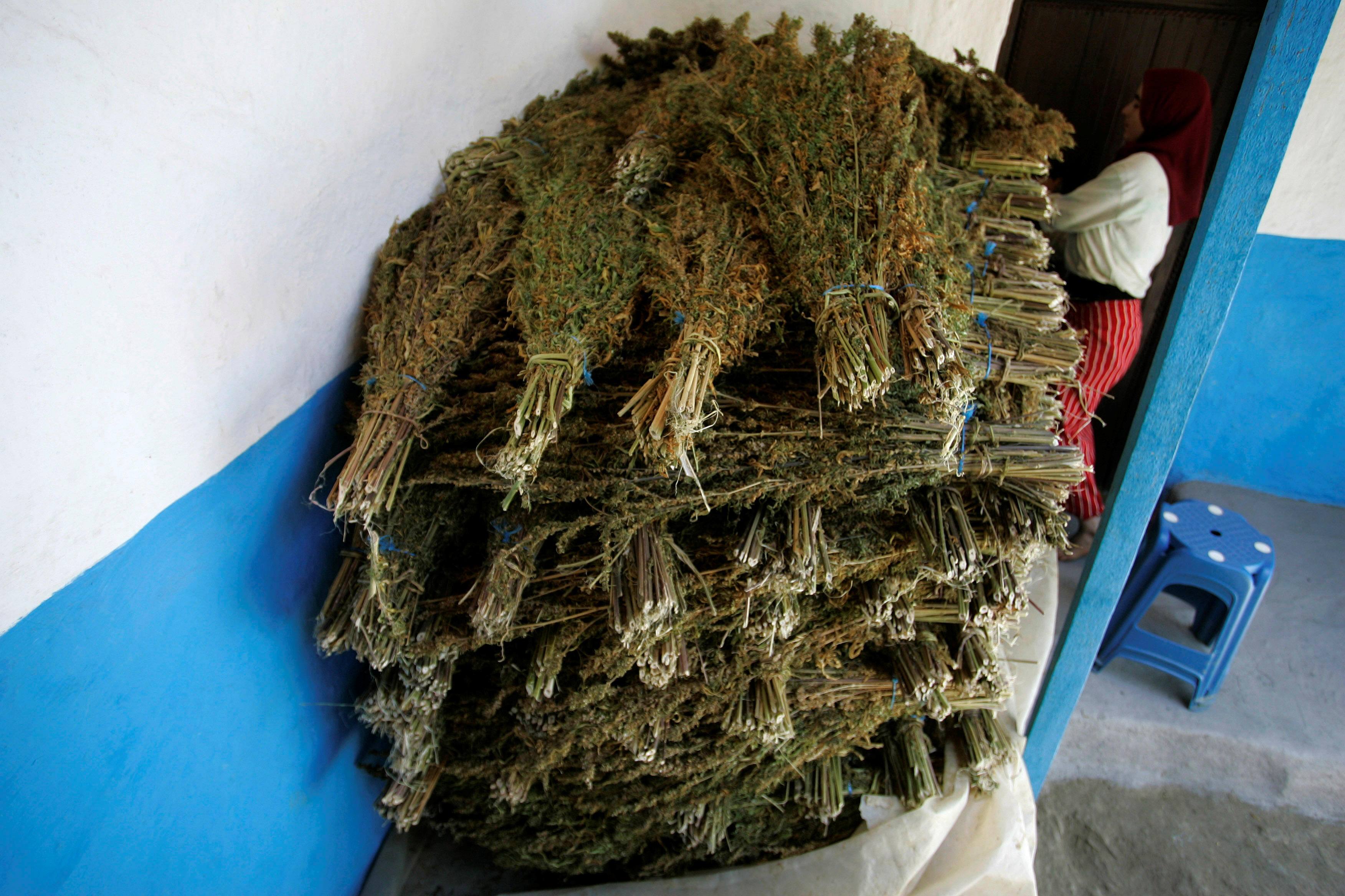 Bundles of marijuana plant are dried at a farmer's house in the Rif region, near Chefchaouen August 8, 2009/File Photo