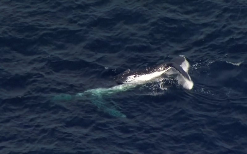 A whale, that was tangled in shark nets, is seen during a rescue operation off Queensland's Gold Coast, Australia August 11, 2021, in this screen grab taken from a video. Picture taken August 11, 2021. Nine Network/ via REUTERS