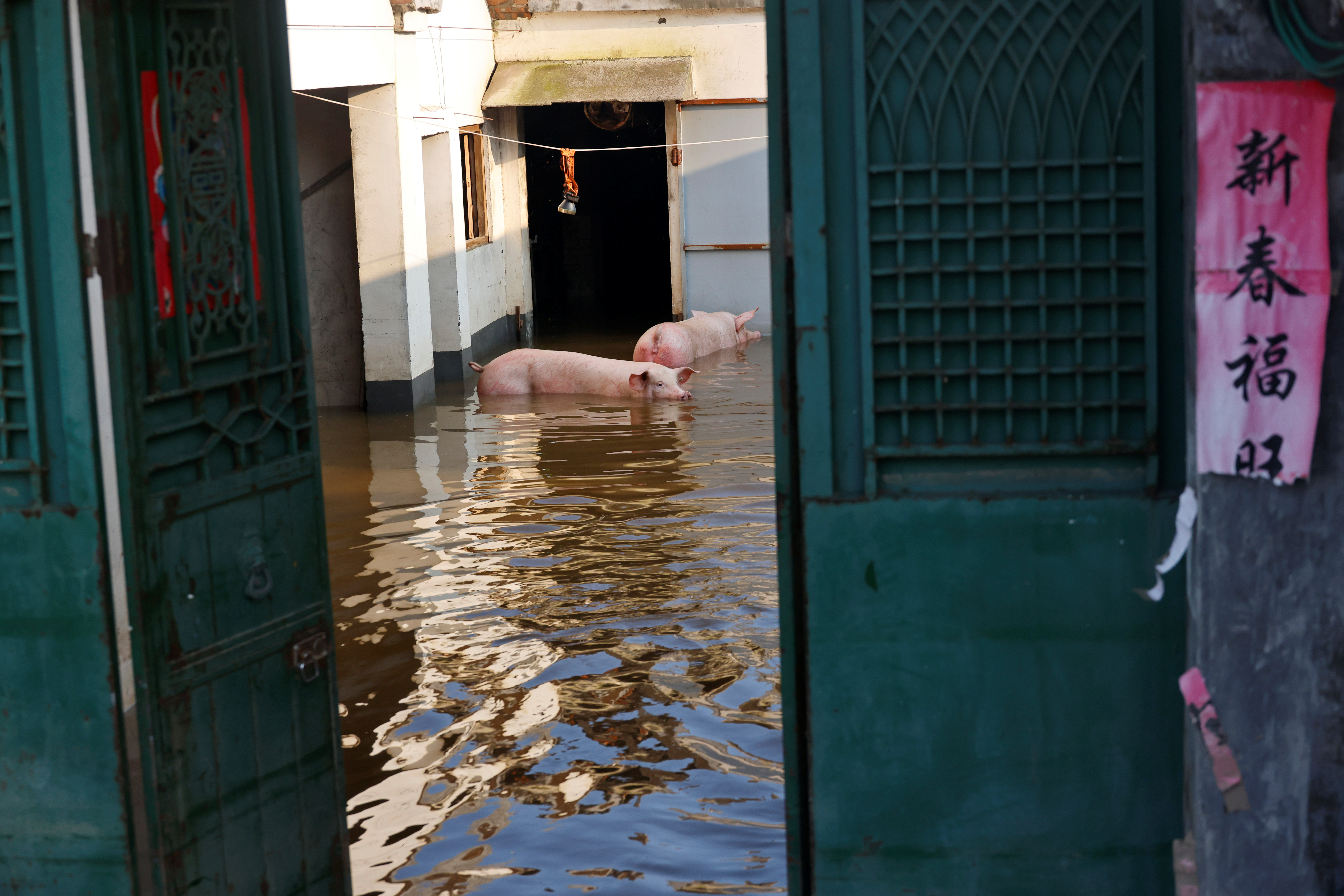 Pigs are seen amid floodwaters after heavy rainfall in Wangfan village of Xinxiang, Henan province, China July 25, 2021. Picture taken July 25, 2021. REUTERS/Aly Song