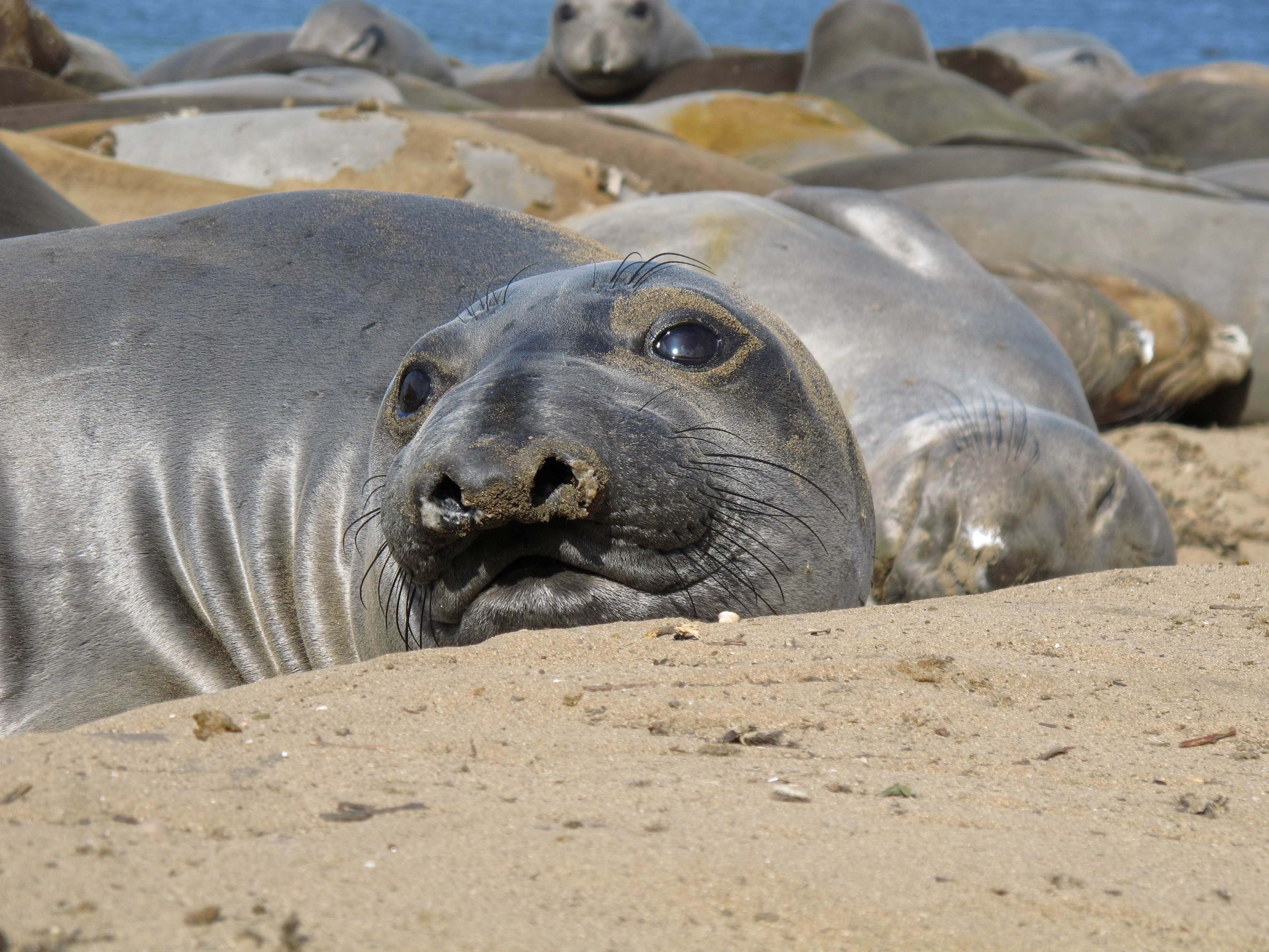 Female northern elephant seals rest at Ano Nuevo State Park, California, U.S. in an undated photograph. Taiki Adachi/Handout via REUTERS