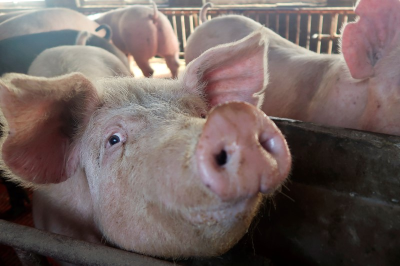 Pigs on a farm in China.  REUTERS/Dominique Patton