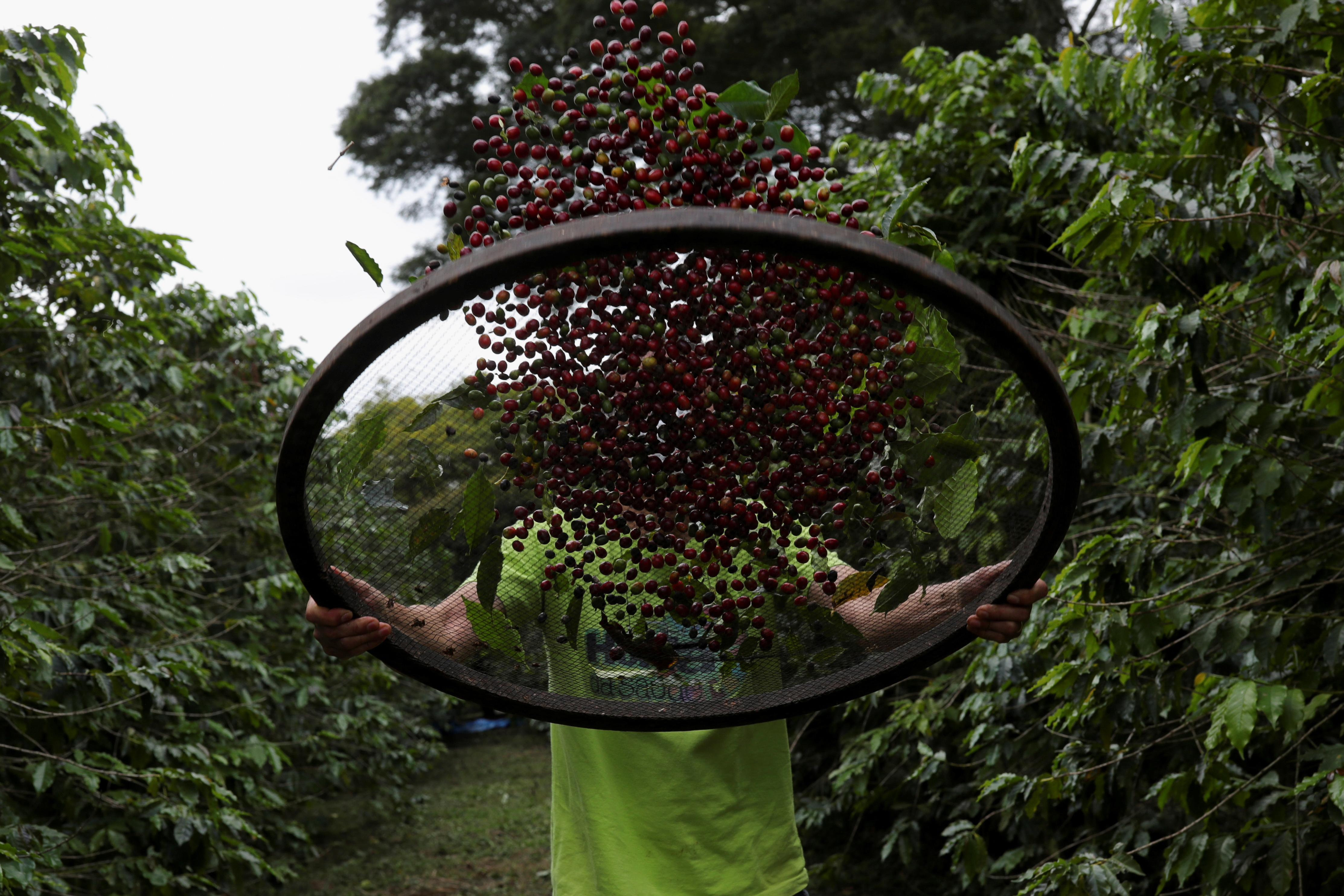 Volunteer Sergio Shigeeda works with coffee berries at the Biological Institute in Sao Paulo, Brazil May 8, 2021. Picture taken May 8, 2021. REUTERS/Amanda Perobelli
