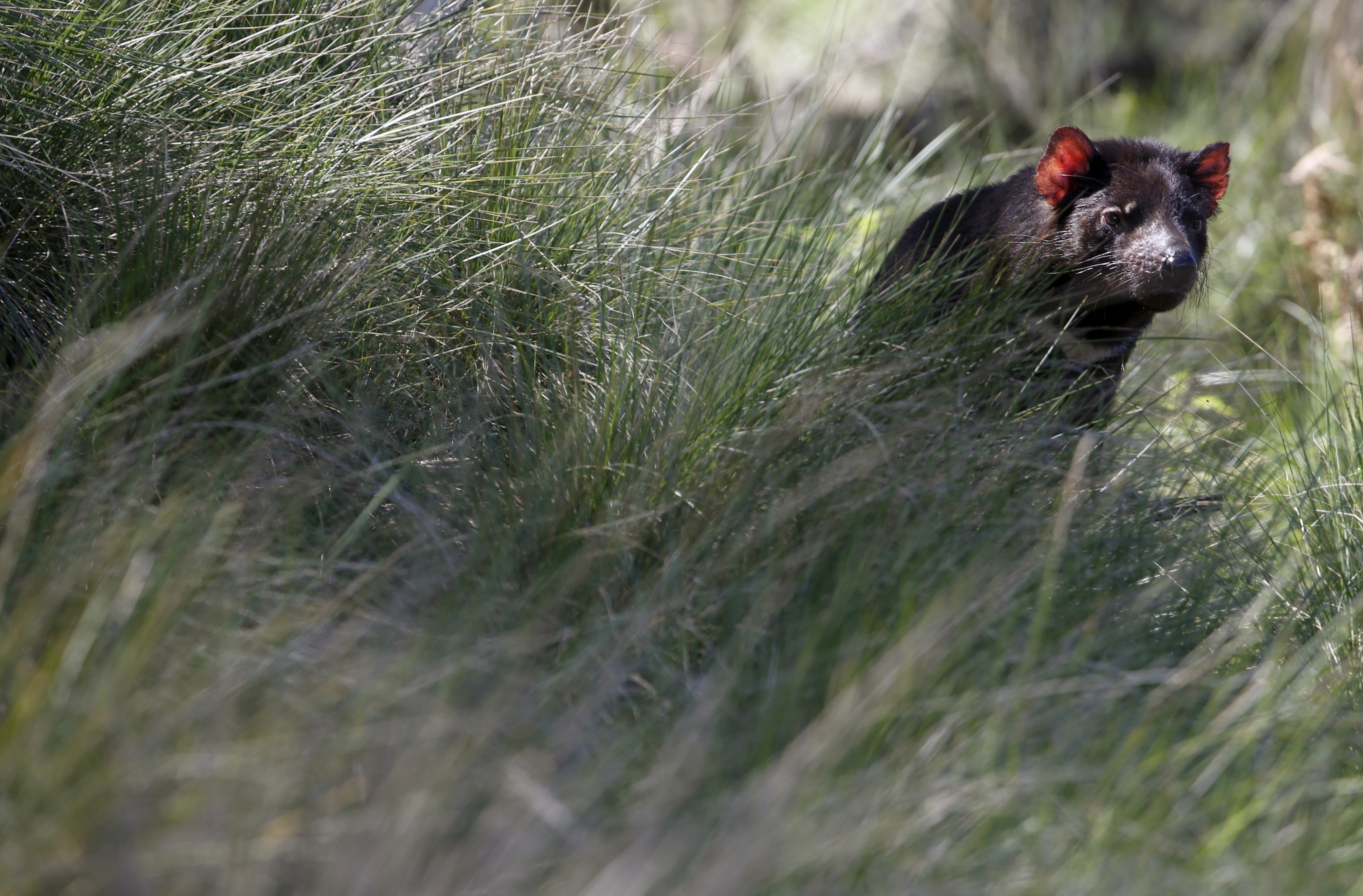 A Tasmanian Devil sits in tall grass as a shipment of healthy and genetically diverse devils to the island state of Tasmania are prepared, at the Devil Ark sanctuary in Barrington Tops on Australia's mainland, November 17, 2015. The devils were released in the wild as part of plans to save the carnivorous marsupials from a cancer threatening them with extinction. Picture taken November 17, 2015.   REUTERS/Jason Reed/File Photo