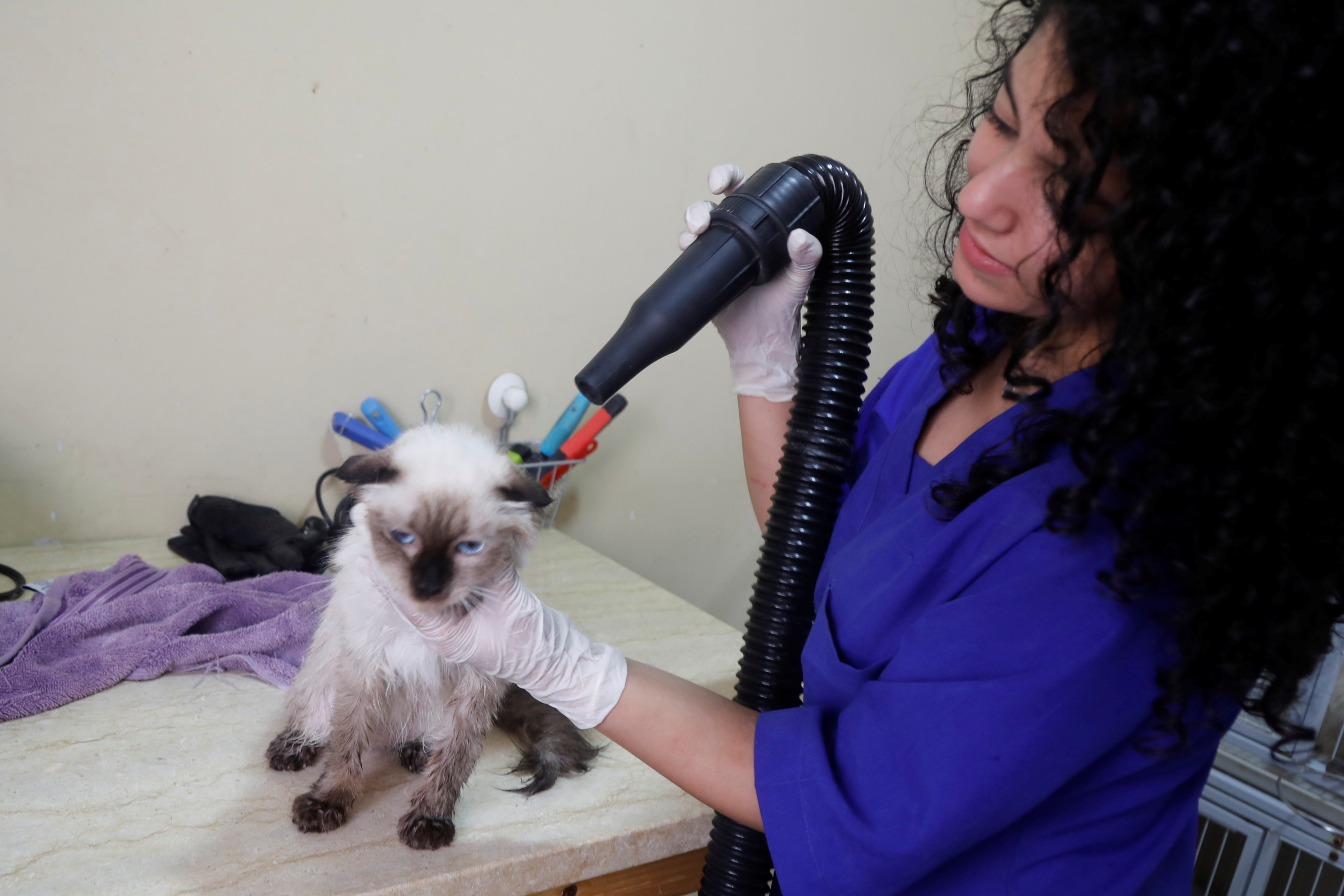 A staff member blow-dries a cat's hair after a bath at Royal Care Vet Clinic that offers animals medical and grooming care, in Nablus, the Israeli-occupied West Bank, September 7, 2021.  REUTERS/Raneen Sawafta