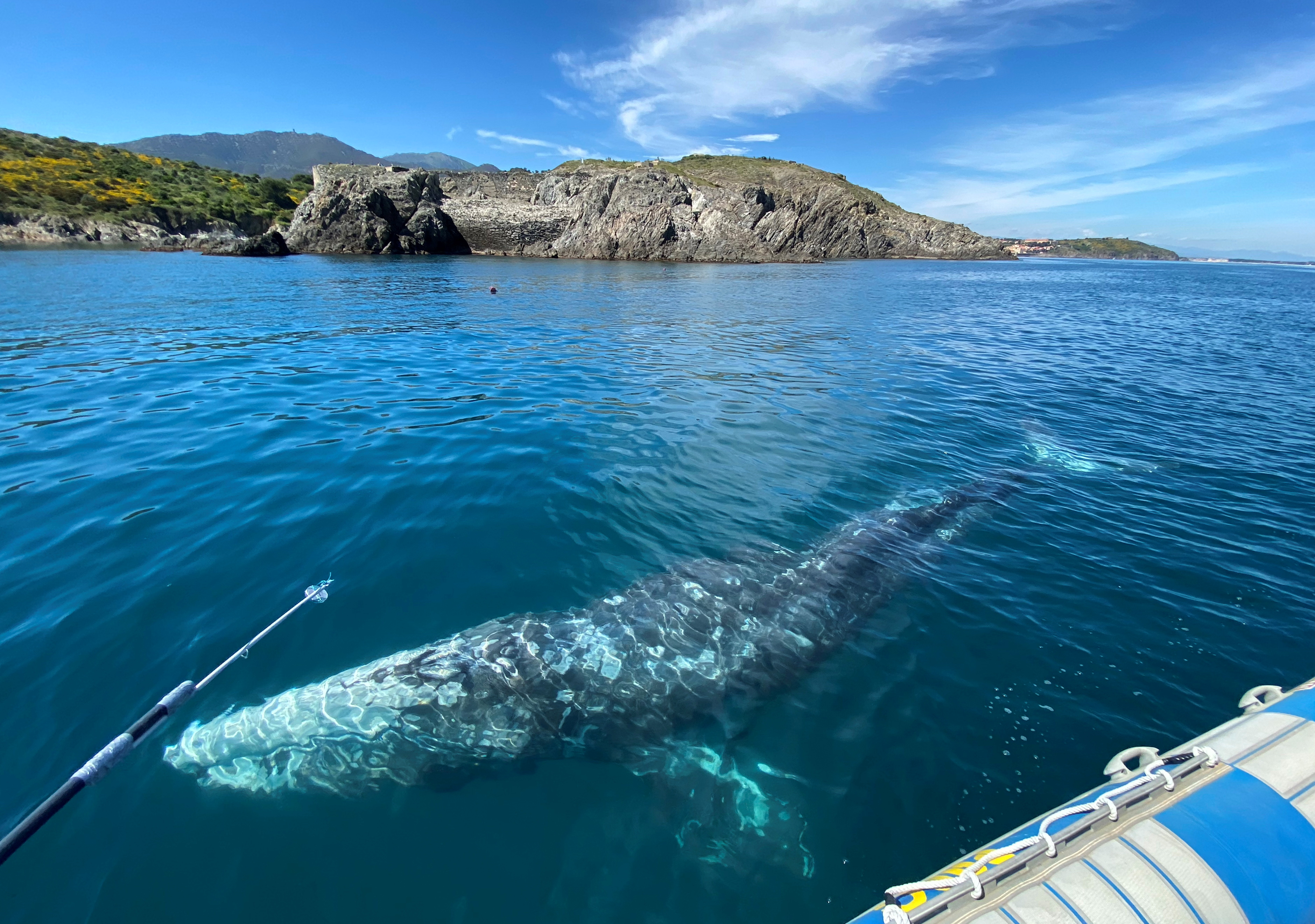Thierry Auga-Bascou, scientist and member of the French Biodiversity Agency (not pictured), takes a skin sample of Wally, the 15 month old gray whale, swimming in the Mediterranean Sea past the coast of Argeles-Sur-Mer, France, May 6, 2021. REUTERS/Alexandre Minguez
