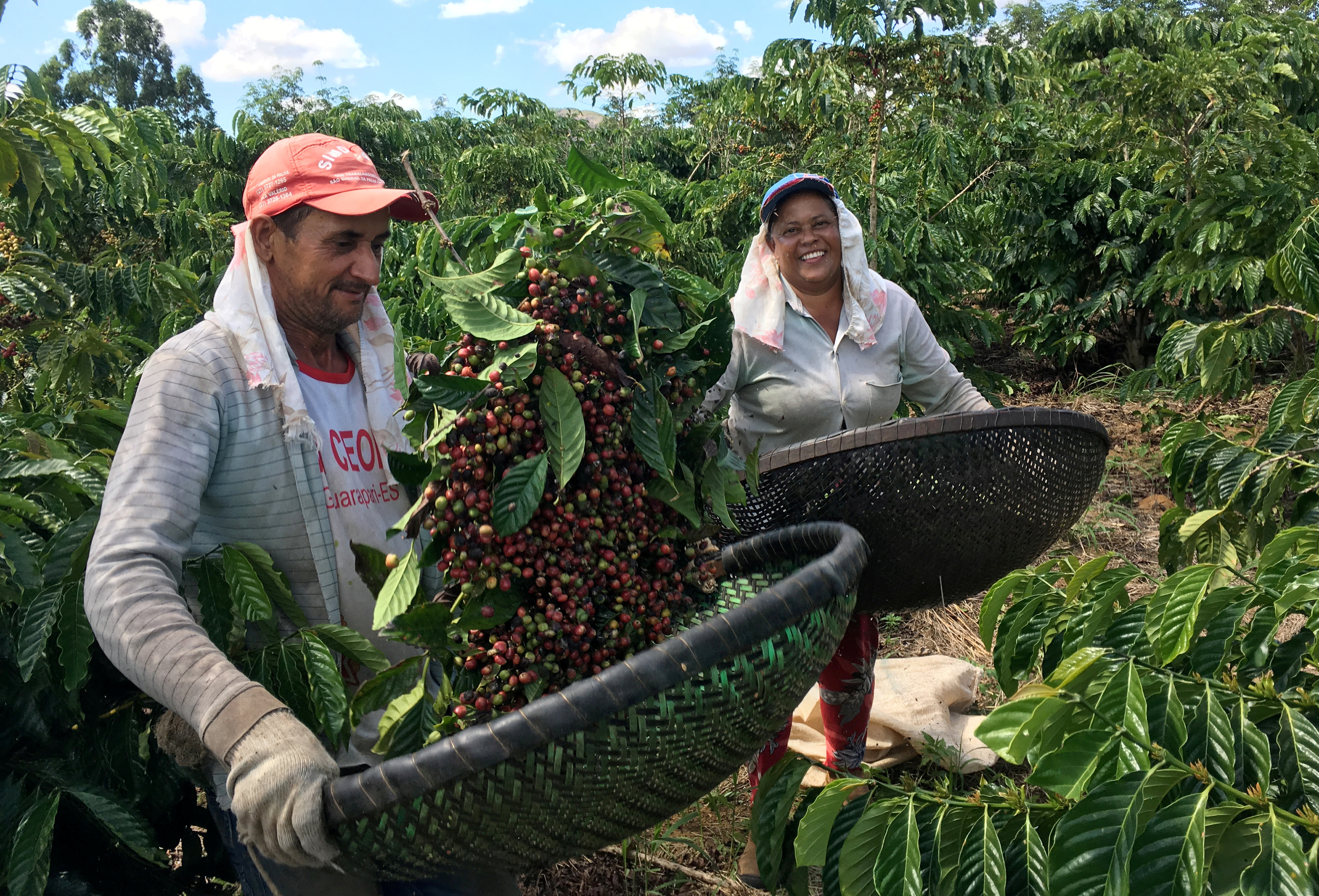 Workers show recently harvested robusta coffee in Sao Gabriel da Palha, Espirito Santo state, Brazil May 2, 2018. Picture taken May 2, 2018. REUTERS/Jose Roberto Gomes