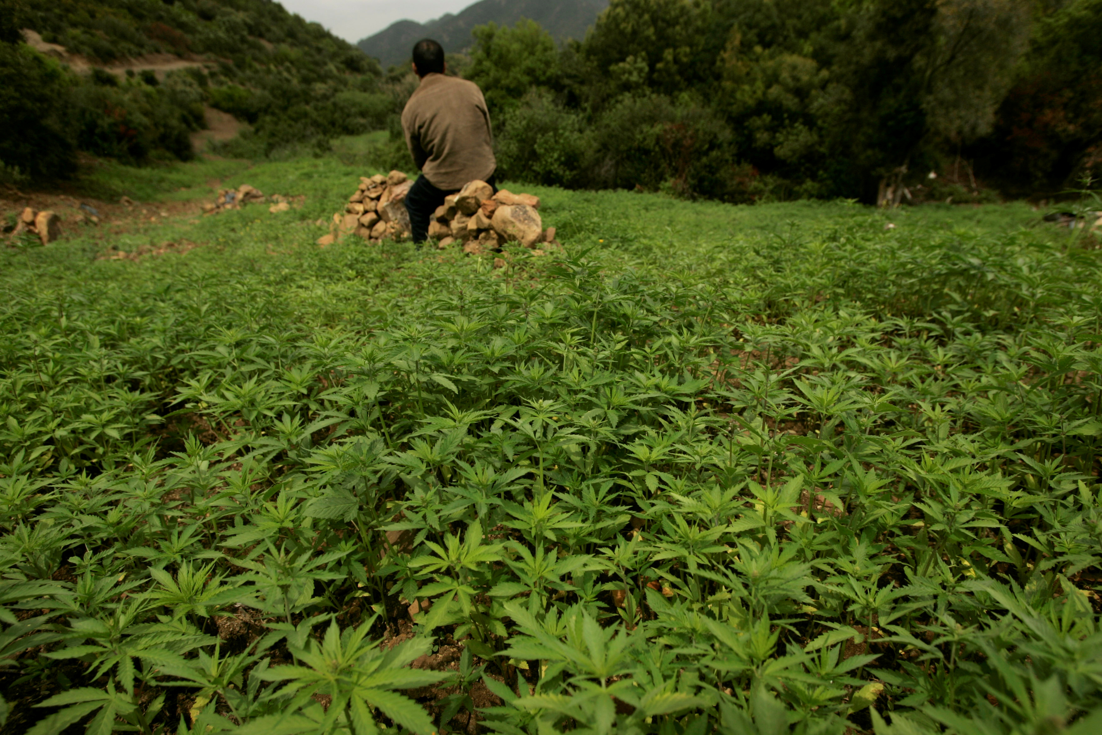 A farmer guards his plantation of cannabis near Chefchaouen, March 27, 2008./File Photo