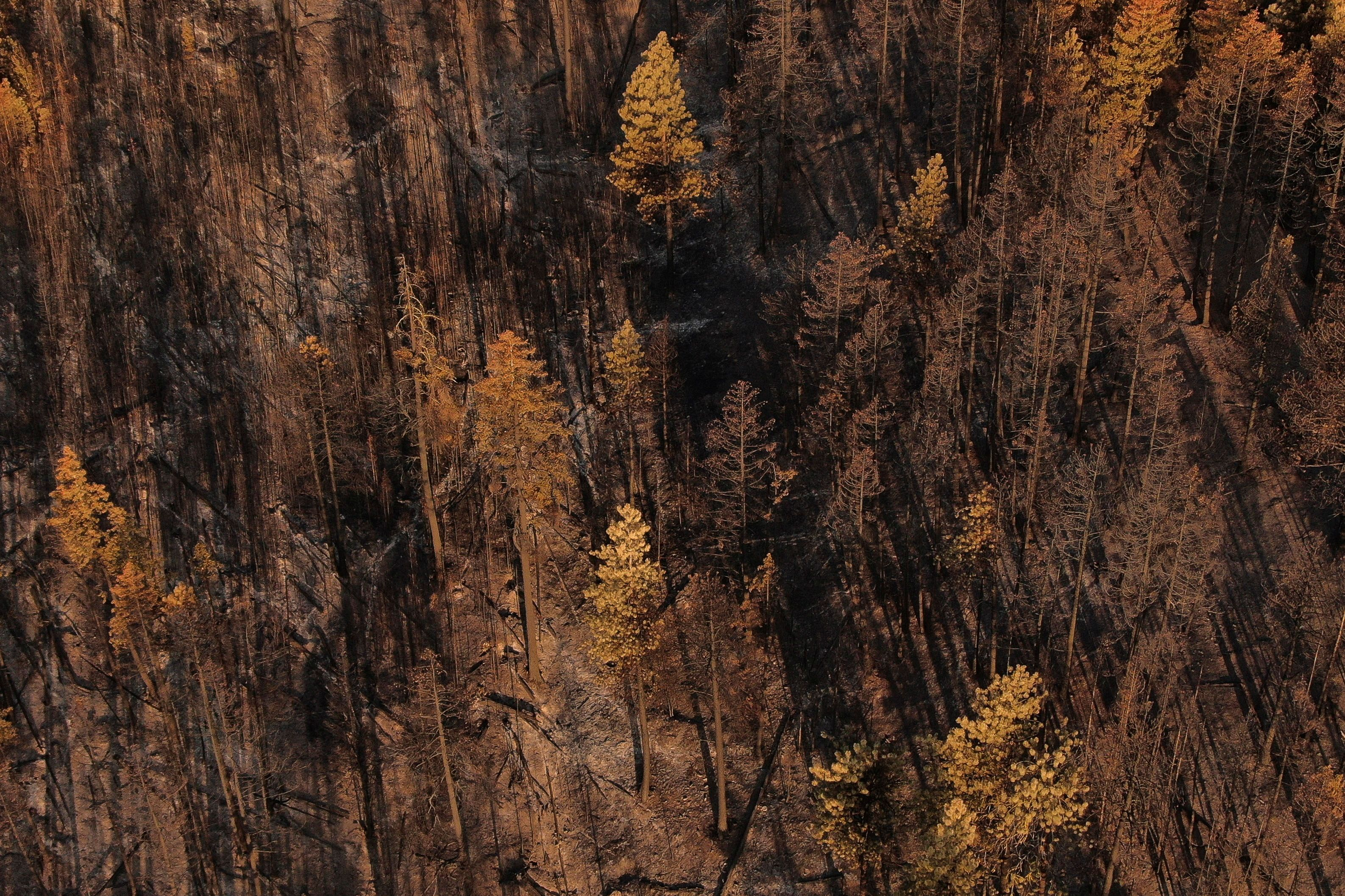A view shows burned trees after the Red Apple Fire damaged the area near Wenatchee, Washington, U.S., July 24, 2021. Picture taken with a drone.  REUTERS/David Ryder