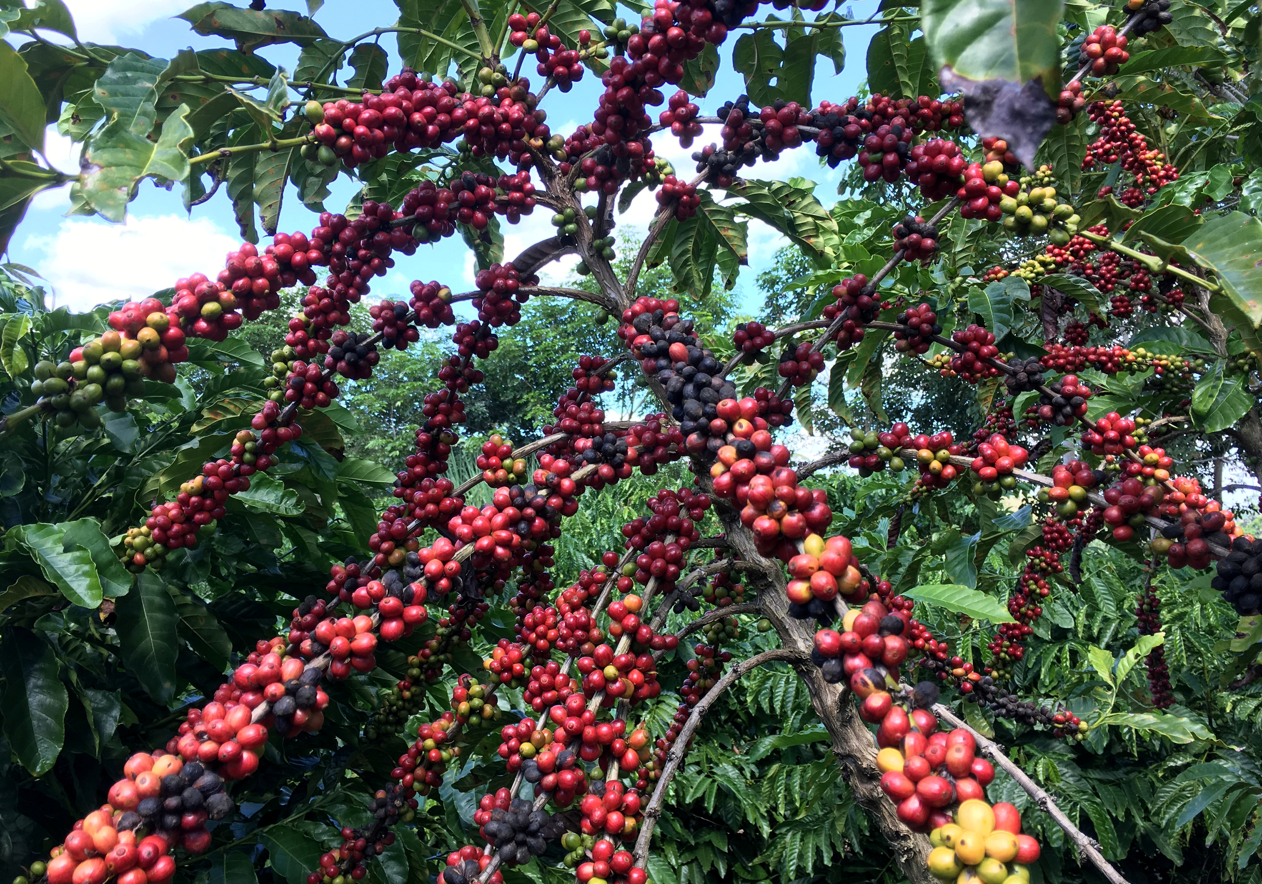 The robusta coffee fruits are seen in Sao Gabriel da Palha, Espirito Santo state, Brazil May 2, 2018. Picture taken May 2, 2018. REUTERS/Jose Roberto Gomes