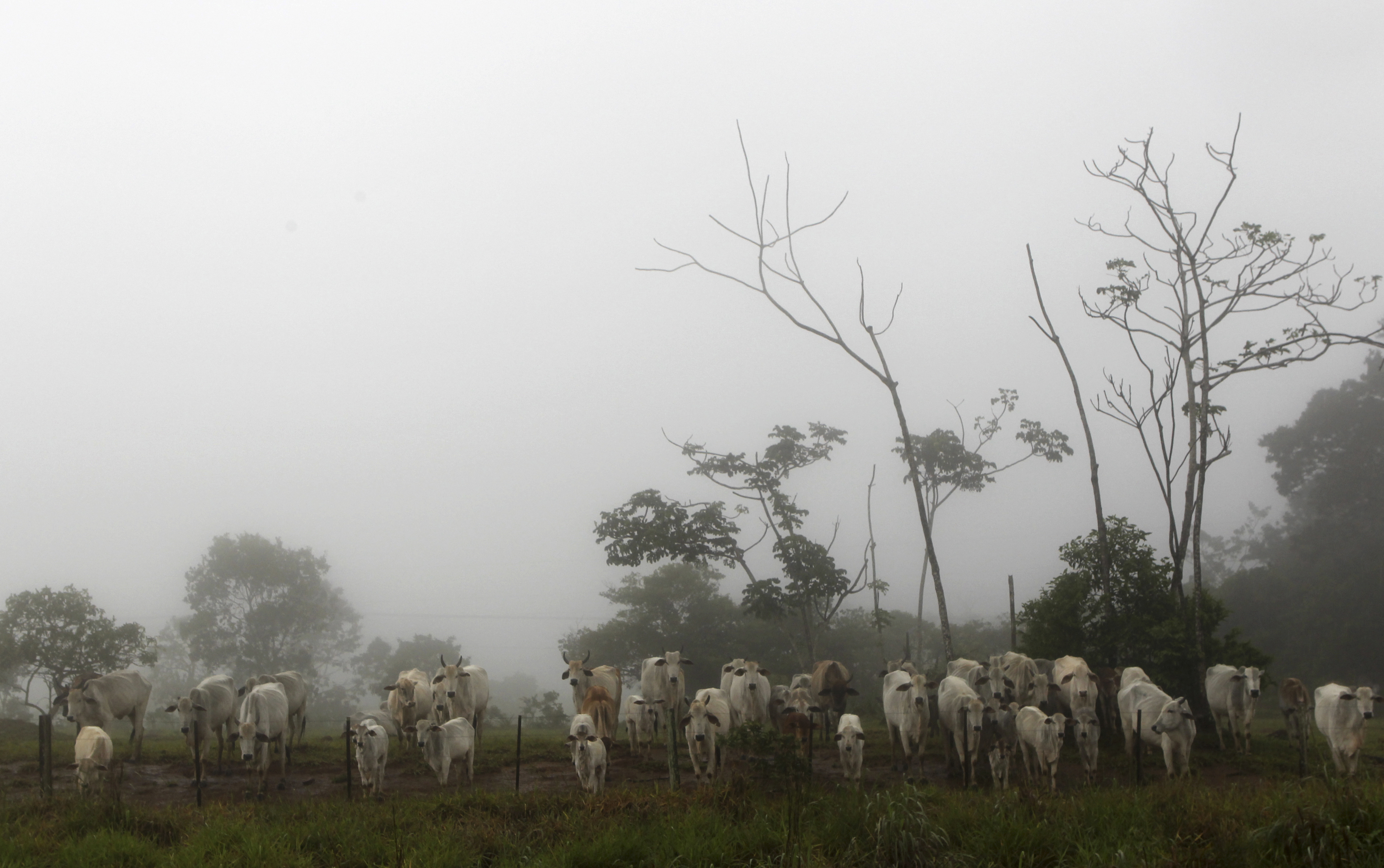 Cattle are seen on a farm with fog in the city of Chapada dos Guimaraes, in the central Brazilian state of Mato Grosso February 8, 2013.  REUTERS/Paulo Whitaker