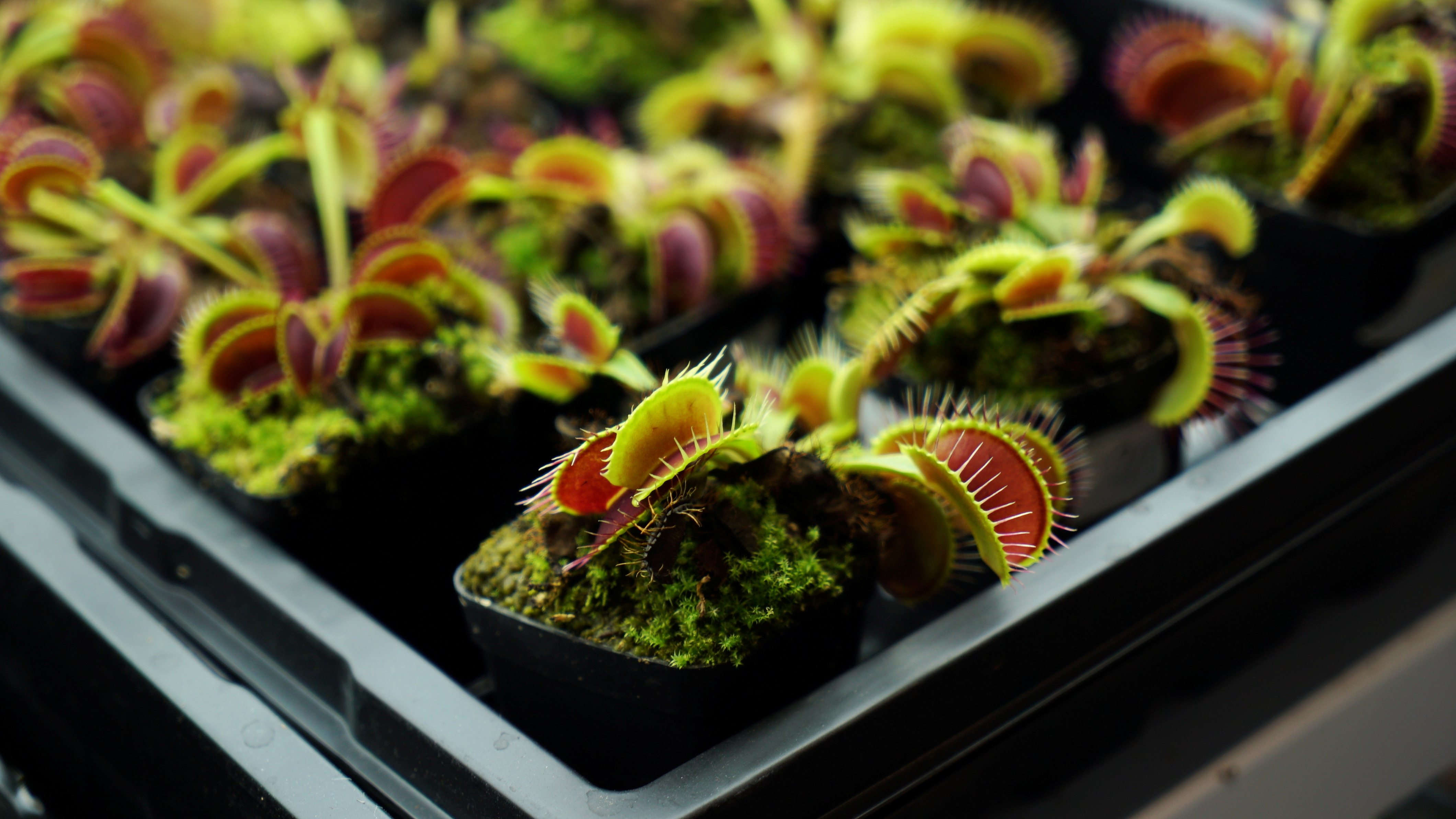 Venus flytraps are seen in a lab at Nanyang Technological University in Singapore April 27, 2021. Picture taken April 27, 2021. REUTERS/Joseph Campbell