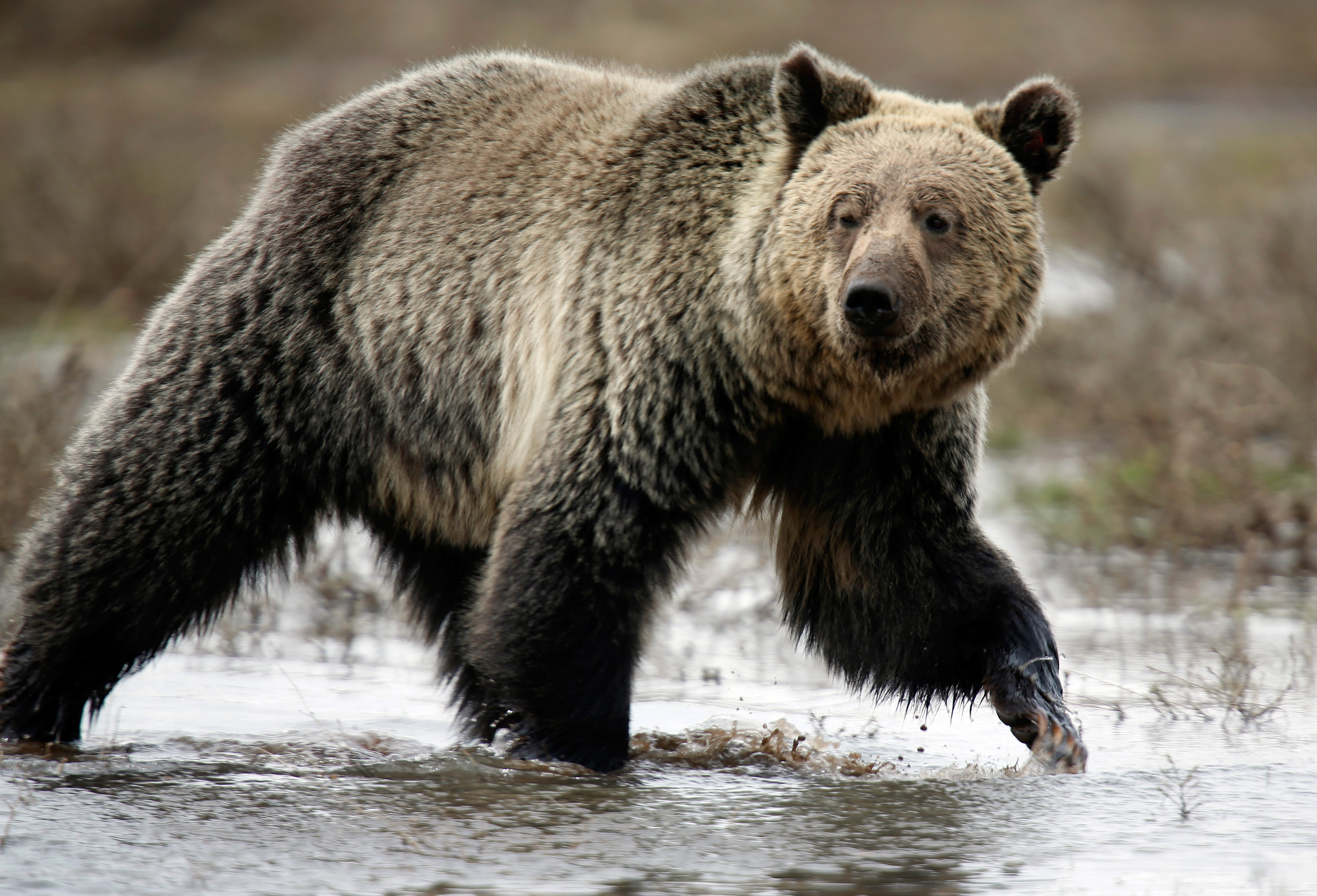 A grizzly bear roams through the Hayden Valley in Yellowstone National Park. May 18, 2014.  REUTERS/Jim Urquhart