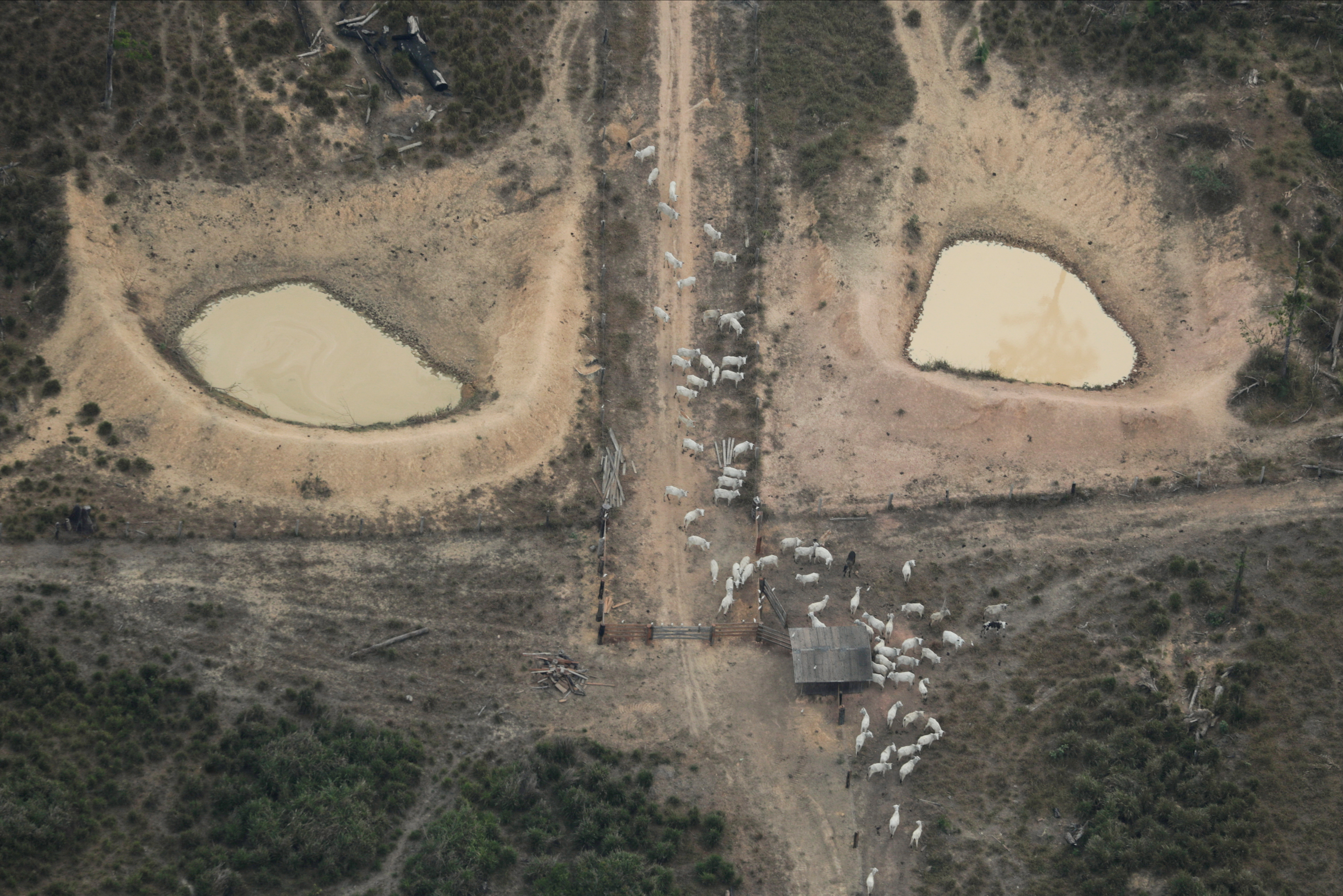An aerial view shows cattle on a deforested plot of the Amazon near Porto Velho, Rondonia State, Brazil August 14, 2020. REUTERS/Ueslei Marcelino