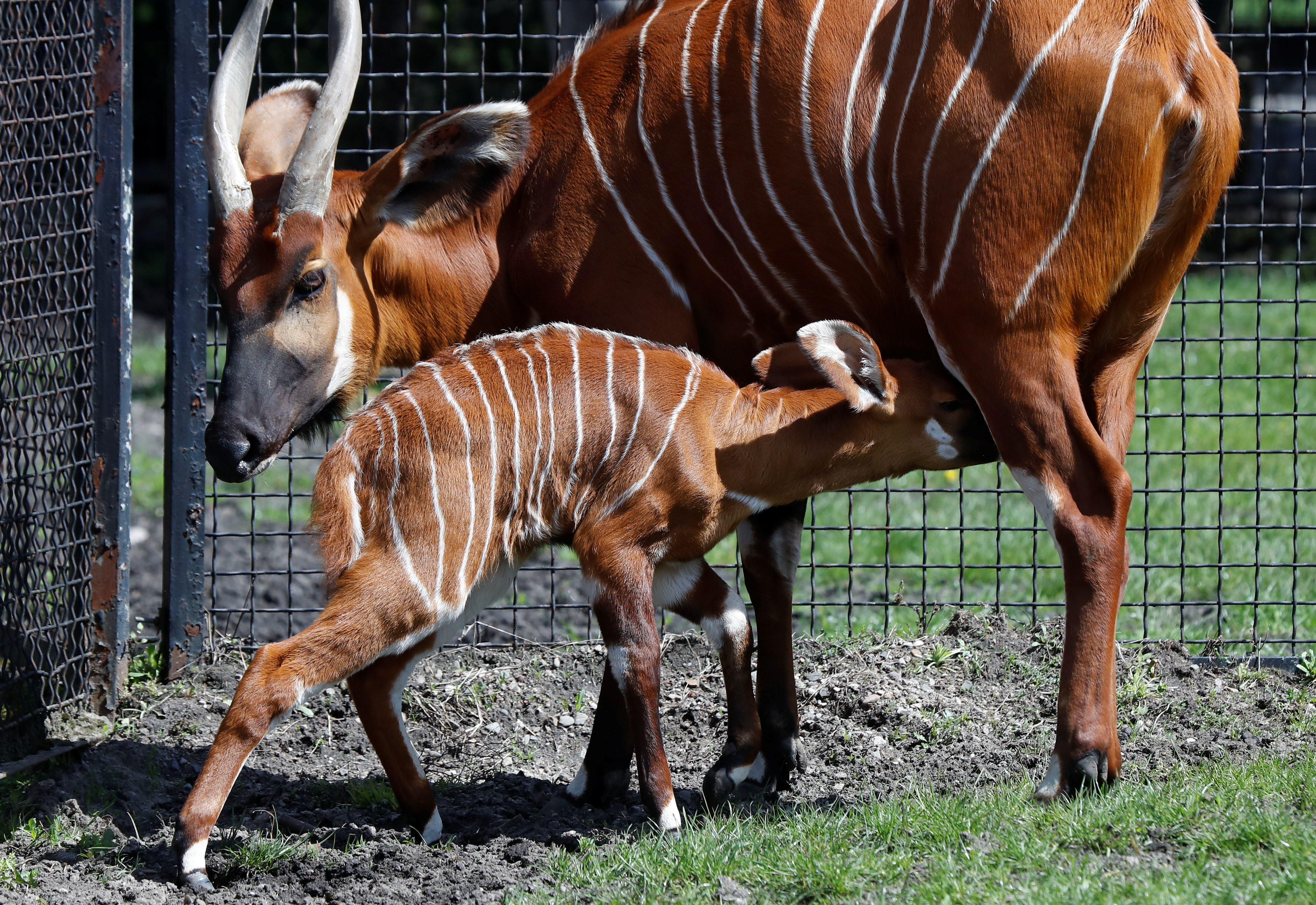 A newborn mountain bongo, the largest of African forest antelopes, is fed by its mother in the Warsaw Zoo, Poland May 6, 2021. Picture taken May 6, 2021. REUTERS/Kacper Pempel