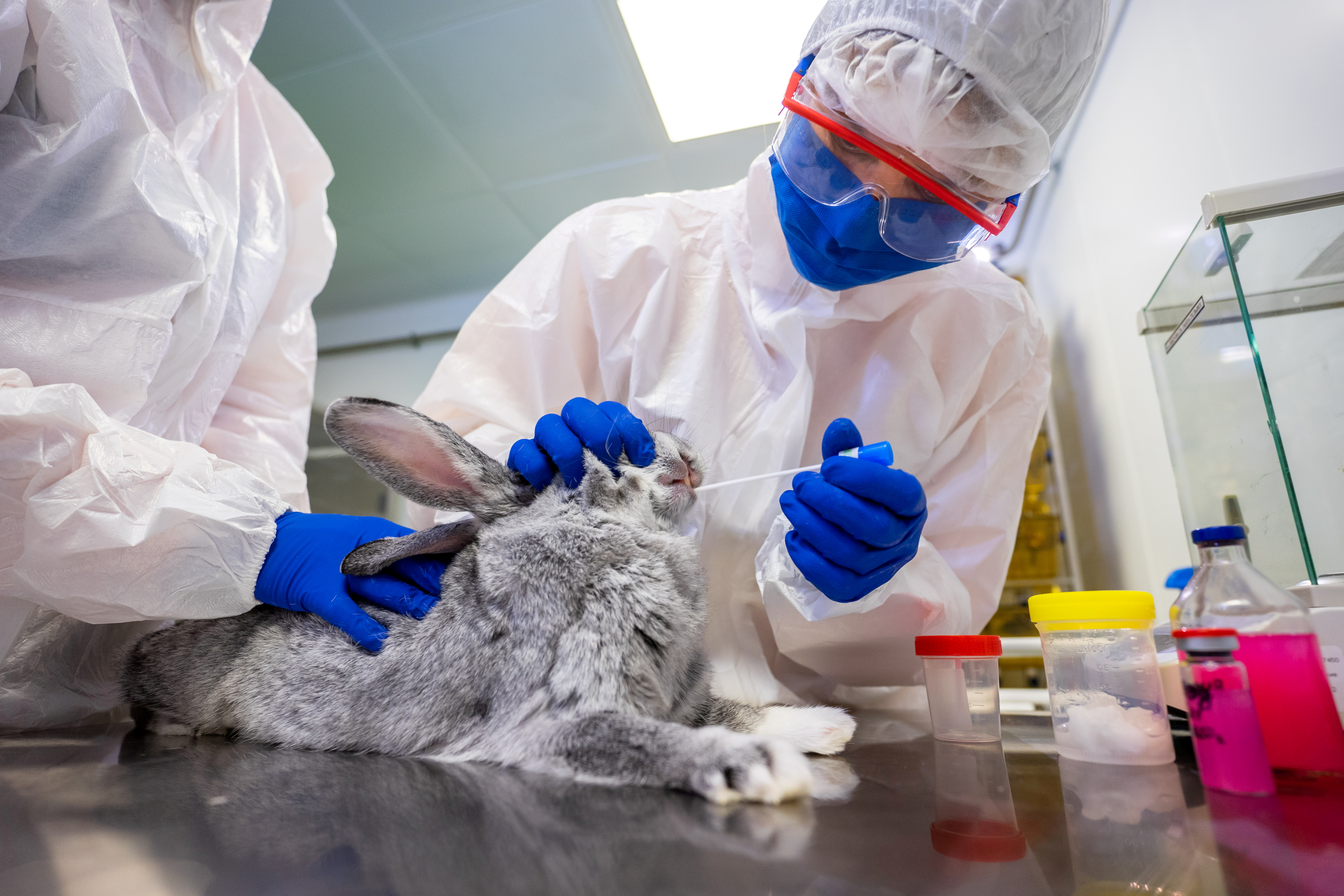 A specialist collects a swab sample from a rabbit at a laboratory of the Federal centre for animal health during the development of a vaccine against the coronavirus disease (COVID-19) for animals, in Vladimir, Russia December 9, 2020. VETANDLIFE.RU/Handout via REUTERS