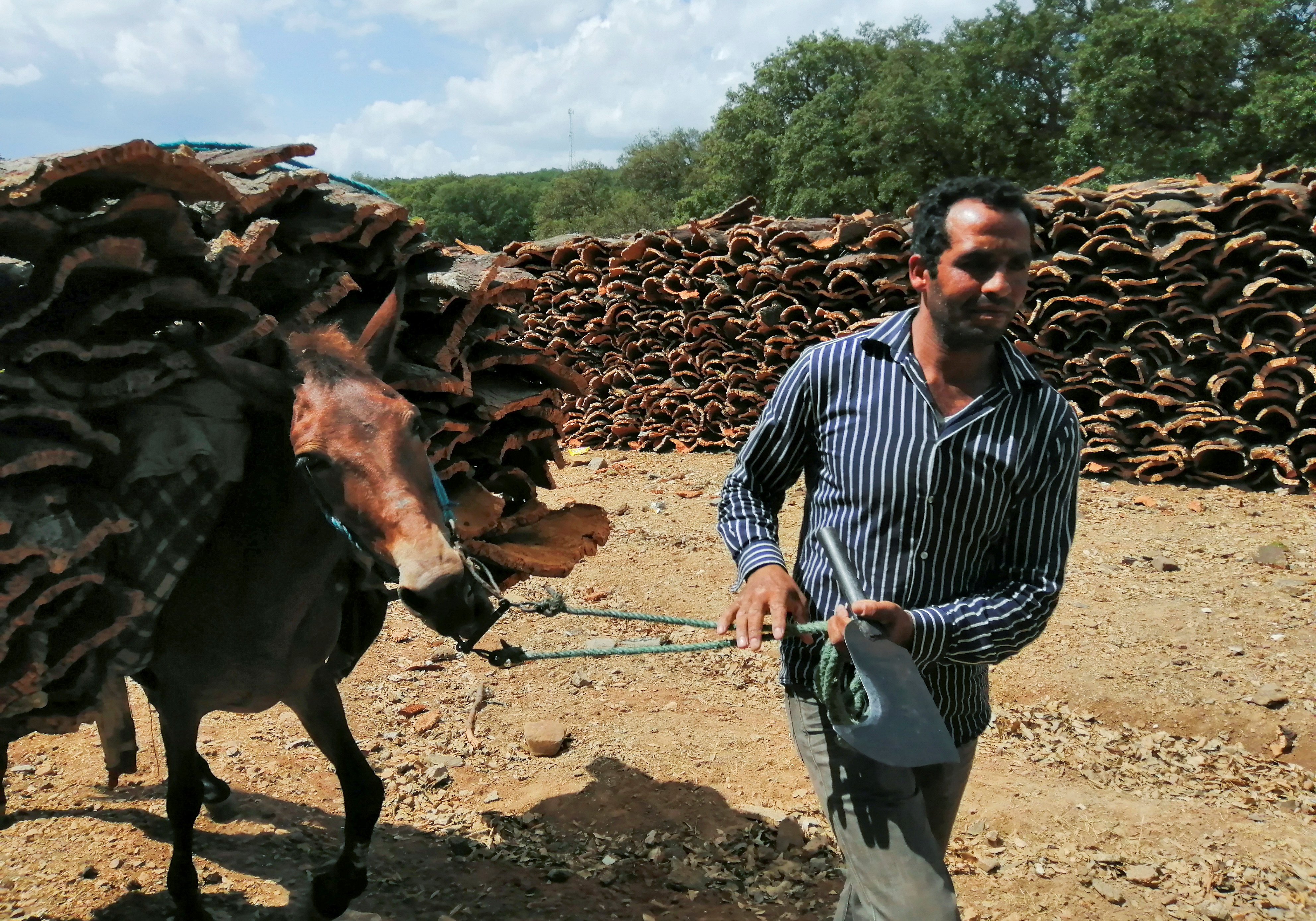 Cork collector, Khaled Warhani, walks with his donkey carrying harvested pieces of cork in Ain Draham, Jendouba, Tunisia, September 10, 2021. Picture taken September 10, 2021. REUTERS/Jihed Abidellaoui