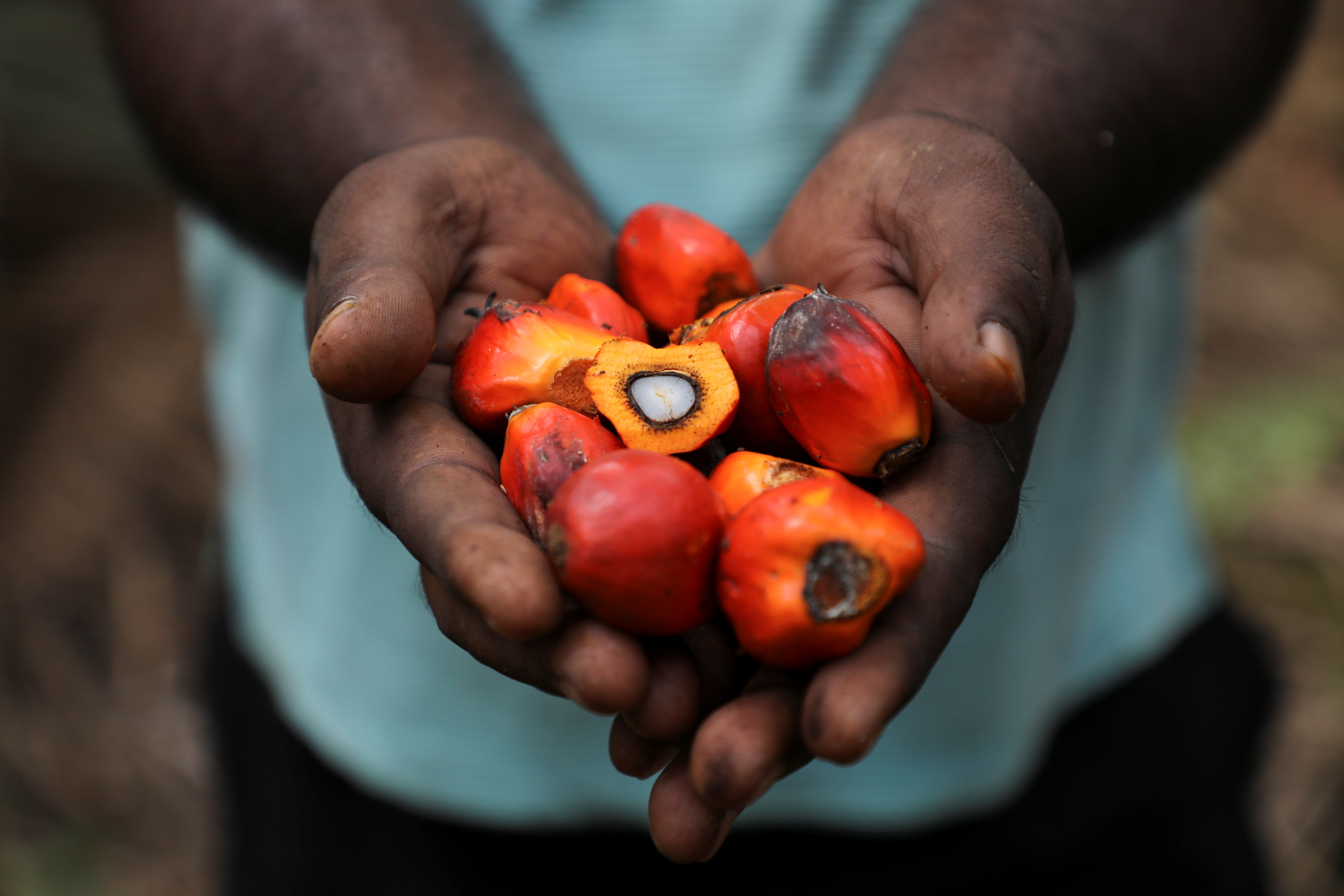 A worker holds palm oil fruits while posing for a picture at an oil palm plantation in Slim River, Malaysia August 12, 2021. Picture taken August 12, 2021. REUTERS/Lim Huey Teng/Files