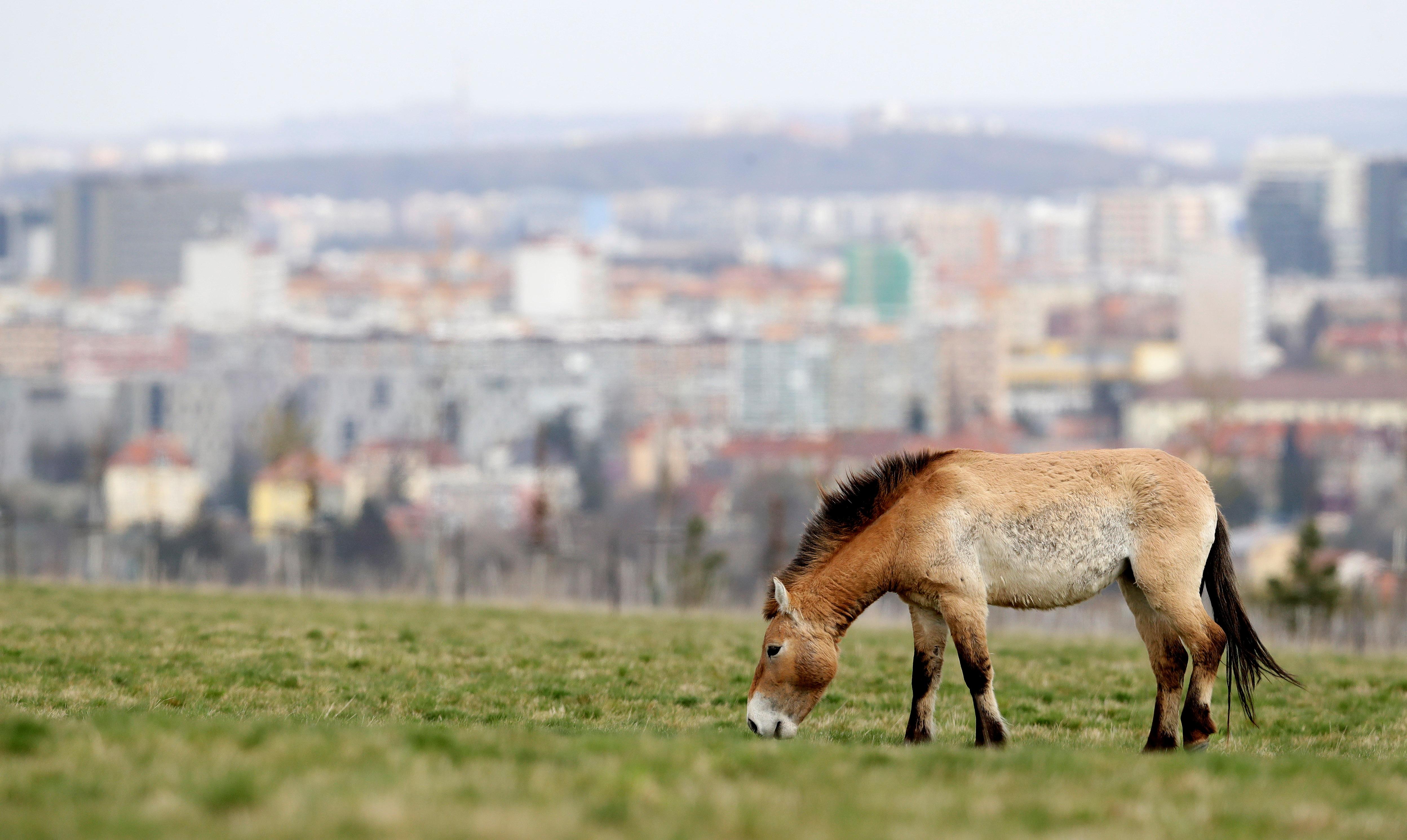 An endangered Przewalski's horse grazes on a meadow inside of a breeding enclosure in Prague, Czech Republic, April 22, 2021.  REUTERS/David W Cerny