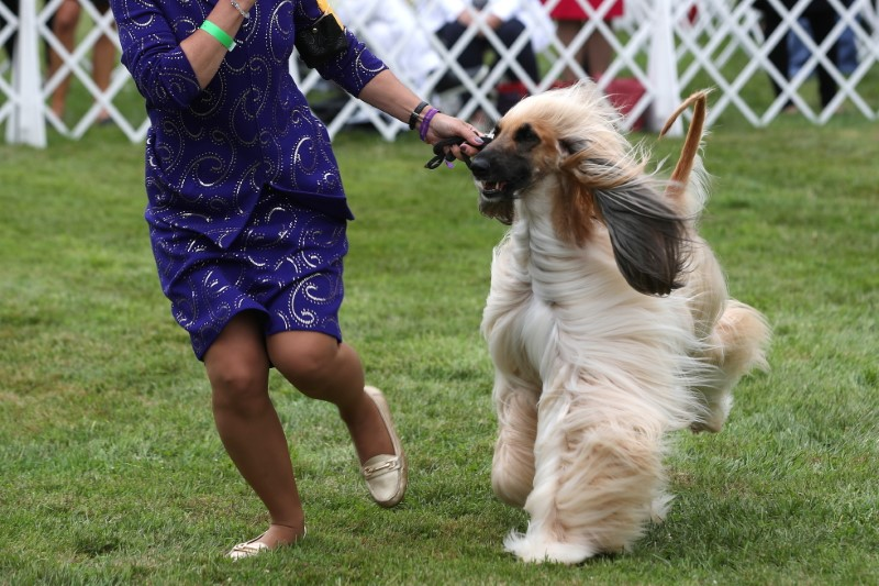 A handler presents an Afghan Hound dog during breed judging at the 145th Westminster Kennel Club Dog Show at Lyndhurst Mansion in Tarrytown, New York, U.S., June 12, 2021. REUTERS/Mike Segar