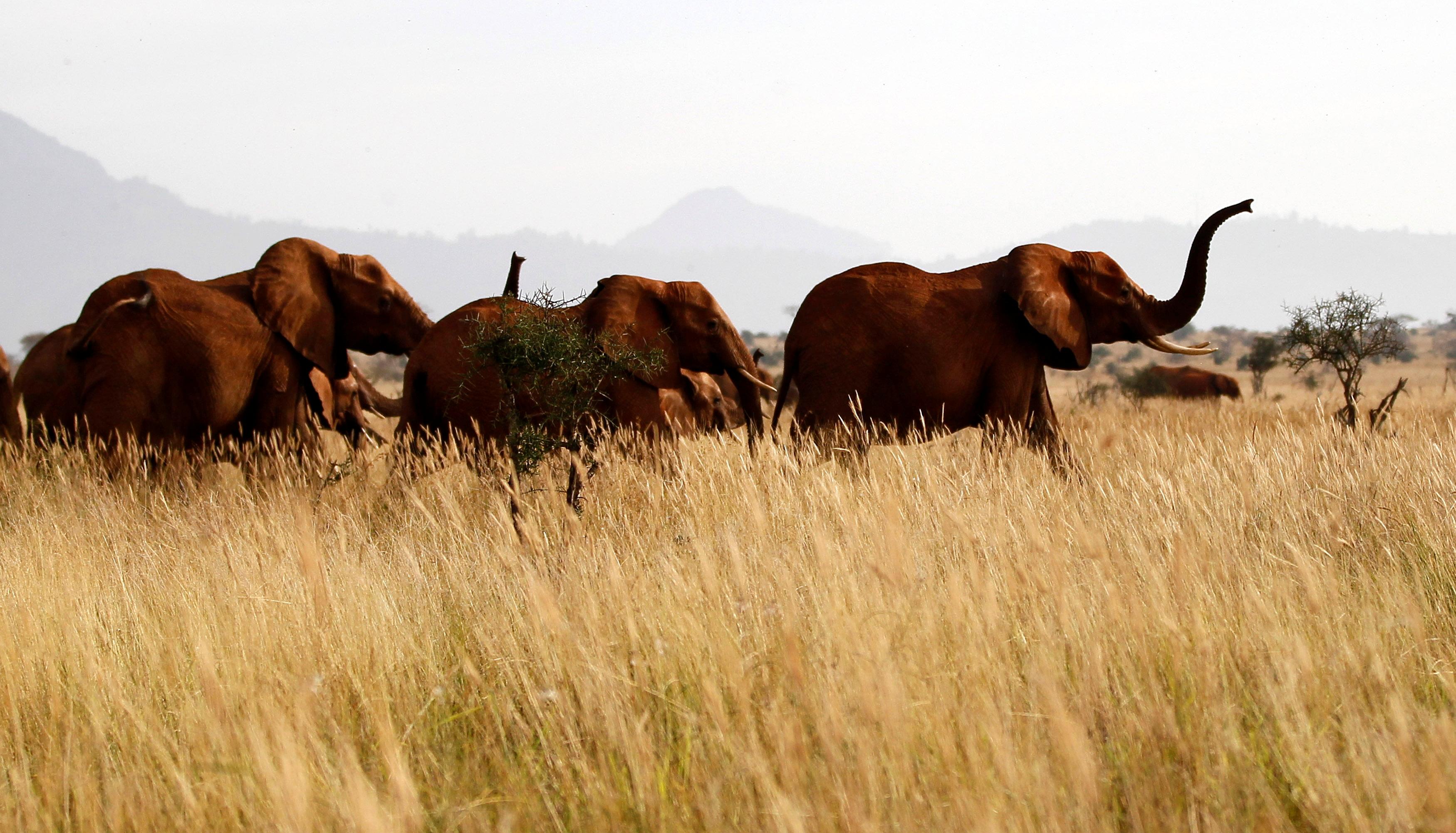 Elephants are seen at the Tsavo West national park in Kenya,  February 4, 2014.  REUTERS/Thomas Mukoya/File Photo