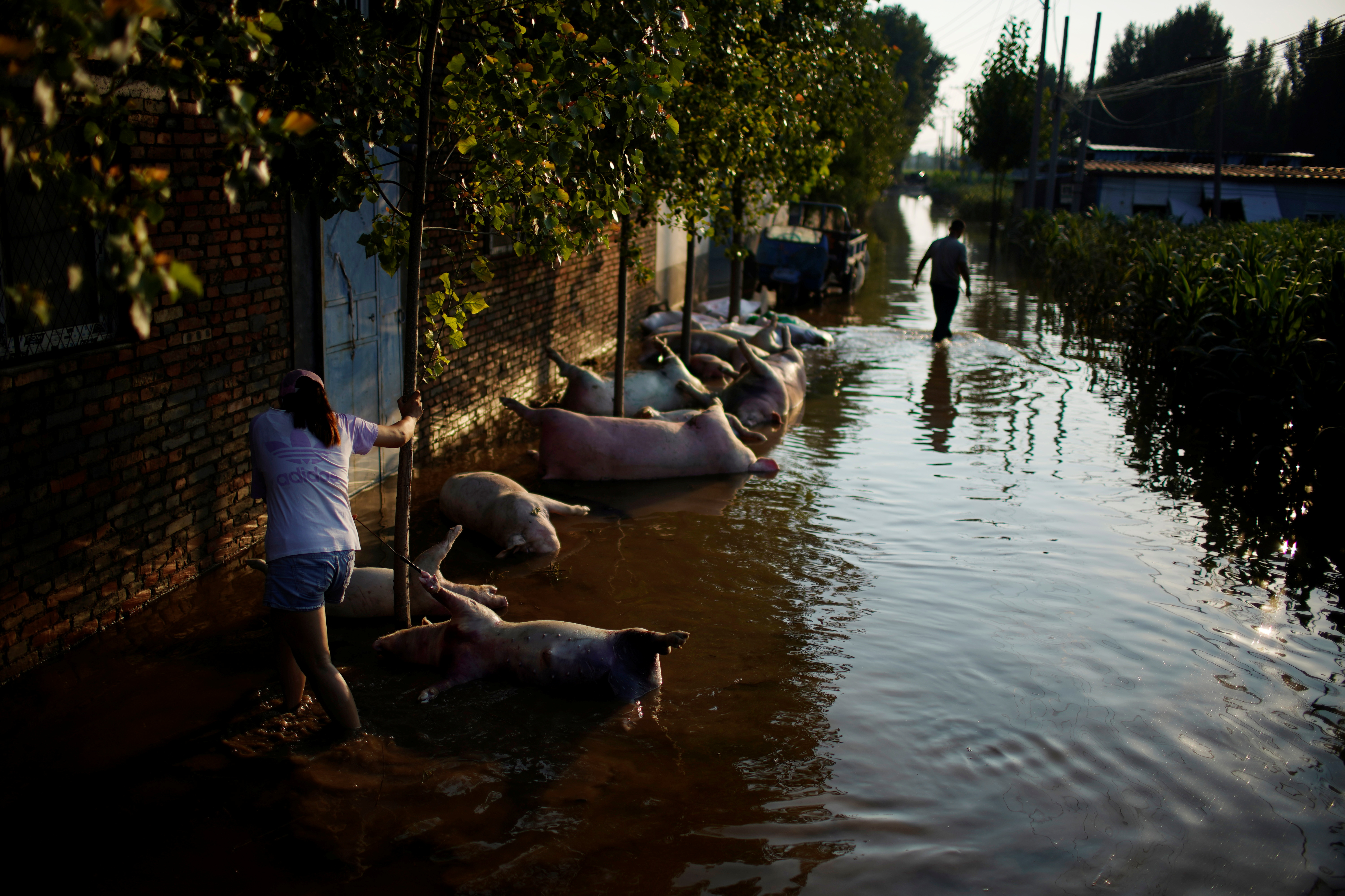 Pig carcasses tied to trees are seen in floodwaters next to a farmland following heavy rainfall in Wangfan village of Xinxiang, Henan province, China July 25, 2021. Picture taken July 25, 2021. REUTERS/Aly Song