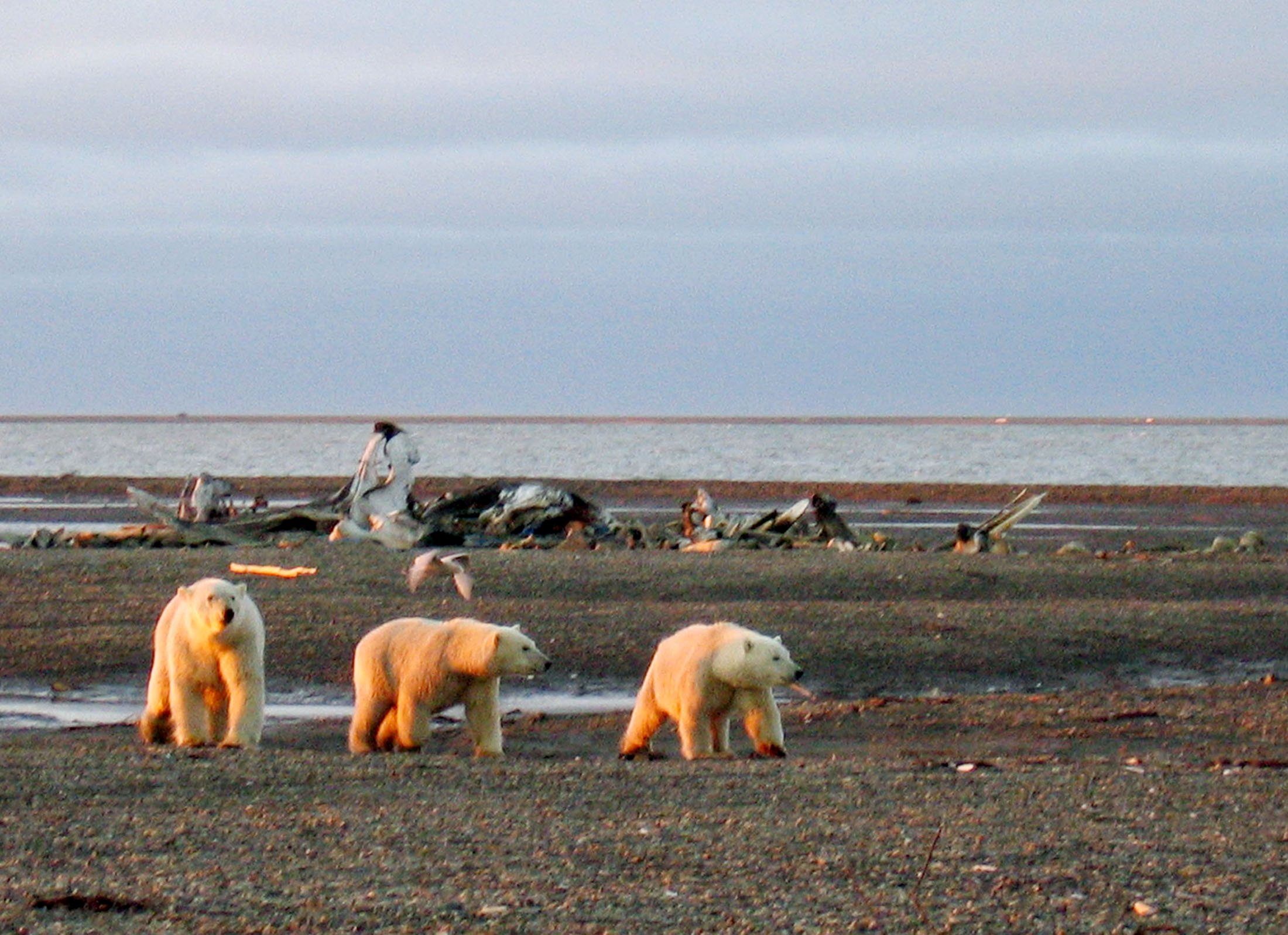 Three polar bears are seen on the Beaufort Sea coast within the 1002 Area of the Arctic National Wildlife Refuge in this undated handout photo provided by the U.S. Fish and Wildlife Service Alaska Image Library on December 21, 2005.  Fish and Wildlife Service Alaska Image Library/File Photo/File Photo