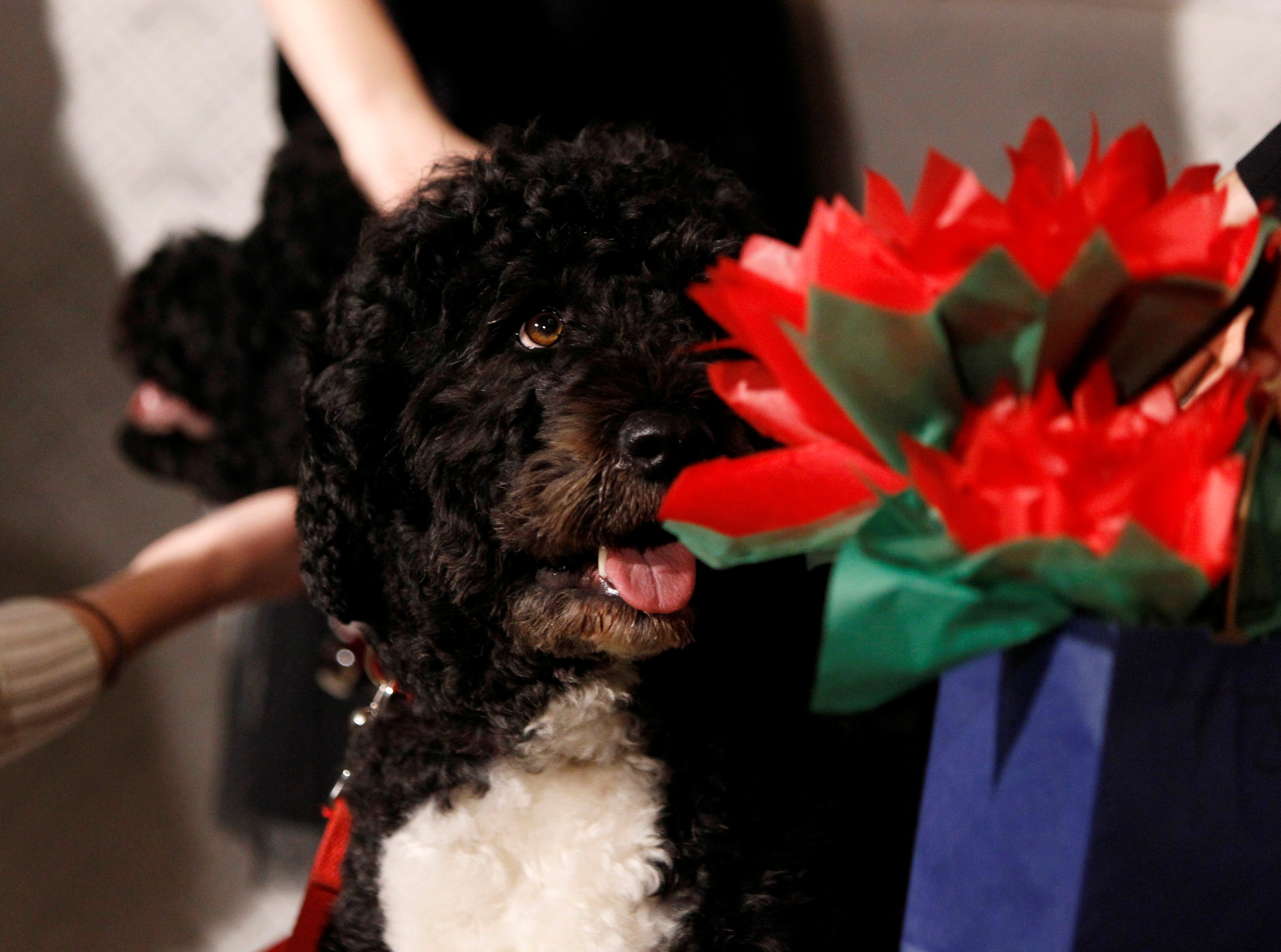Bo, the older of two dogs belonging to the Obama family, is pictured at the unveiling of the Christmas decorations at the White House in Washington, December 4, 2013.       REUTERS/Jason Reed/File Photo