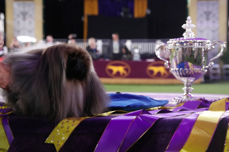 Wasabi, a Pekingese of East Berlin, Pennsylvania is posed after winning the Best in Show at the 145th Westminster Kennel Club Dog Show at Lyndhurst Mansion in Tarrytown, New York, U.S., June 13, 2021. REUTERS/Mike Segar