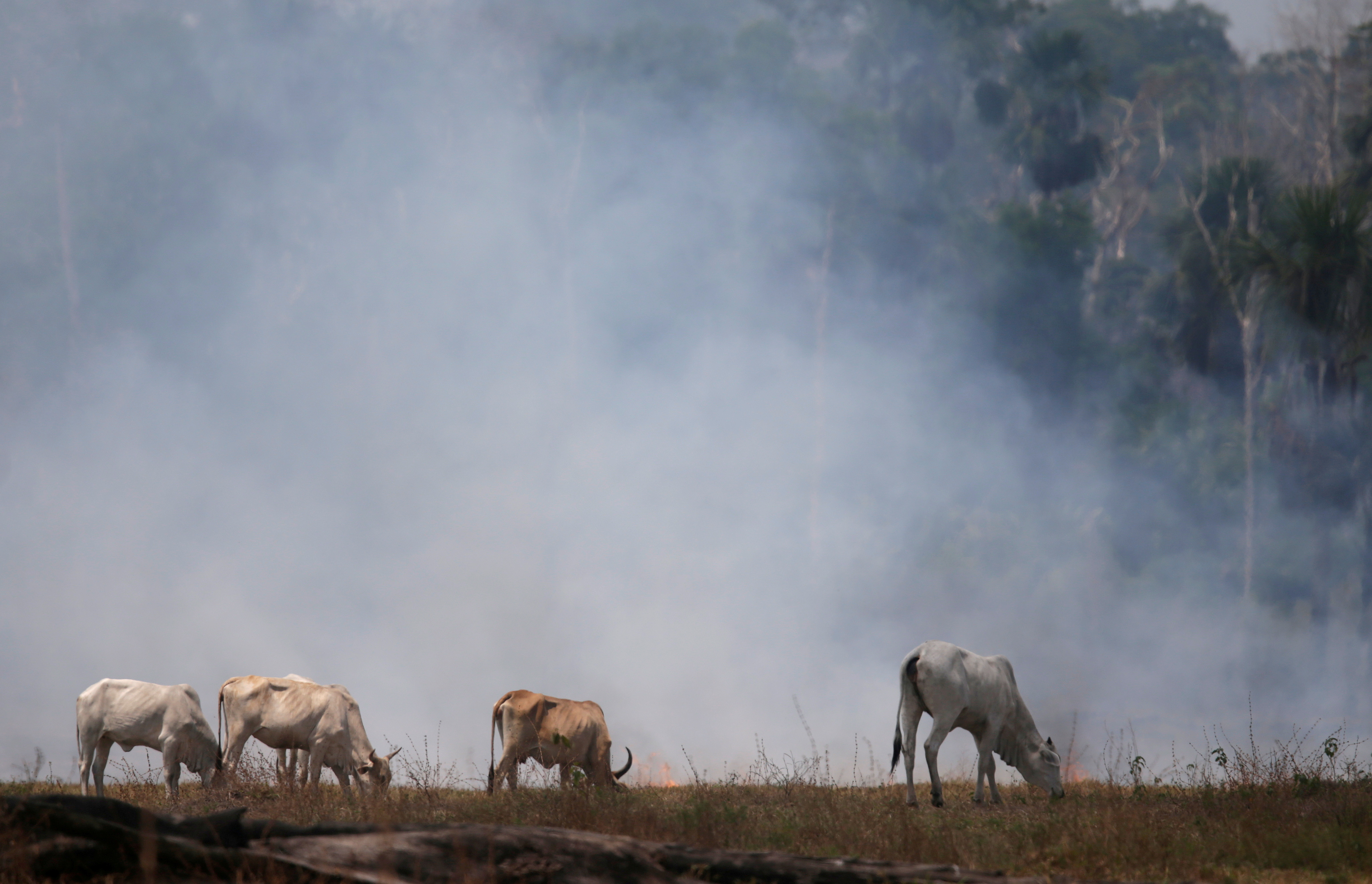 Cattle graze on a smoldering field that was hit by a fire burning a tract of the Amazon forest as it is cleared by farmers, in Rio Pardo, Rondonia, Brazil September 16, 2019. REUTERS/Ricardo Moraes