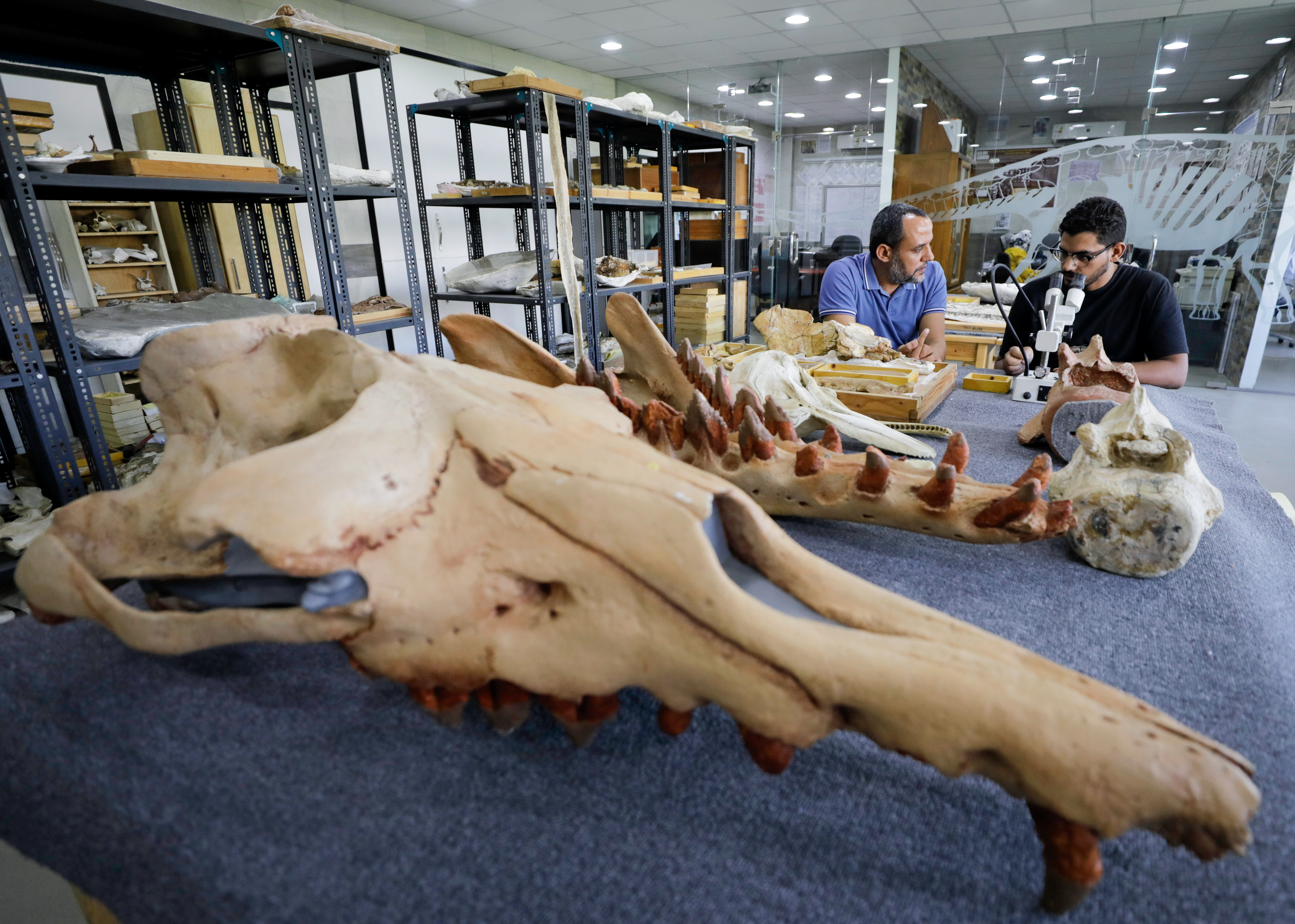 """Abdullah Gohar, a researcher at El Mansoura university, works on renovating the 43 million-year-old fossil of a previously unknown amphibious four-legged whale species called """"Phiomicetus anubis"""" that helps trace the transition of whales from land to sea, discovered in the Fayum Depression in the Western Desert, near the town of El Mansoura, north of Cairo, Egypt, August 26, 2021. REUTERS/Mohamed Abd El Ghany - RC22DP92LSTS"""