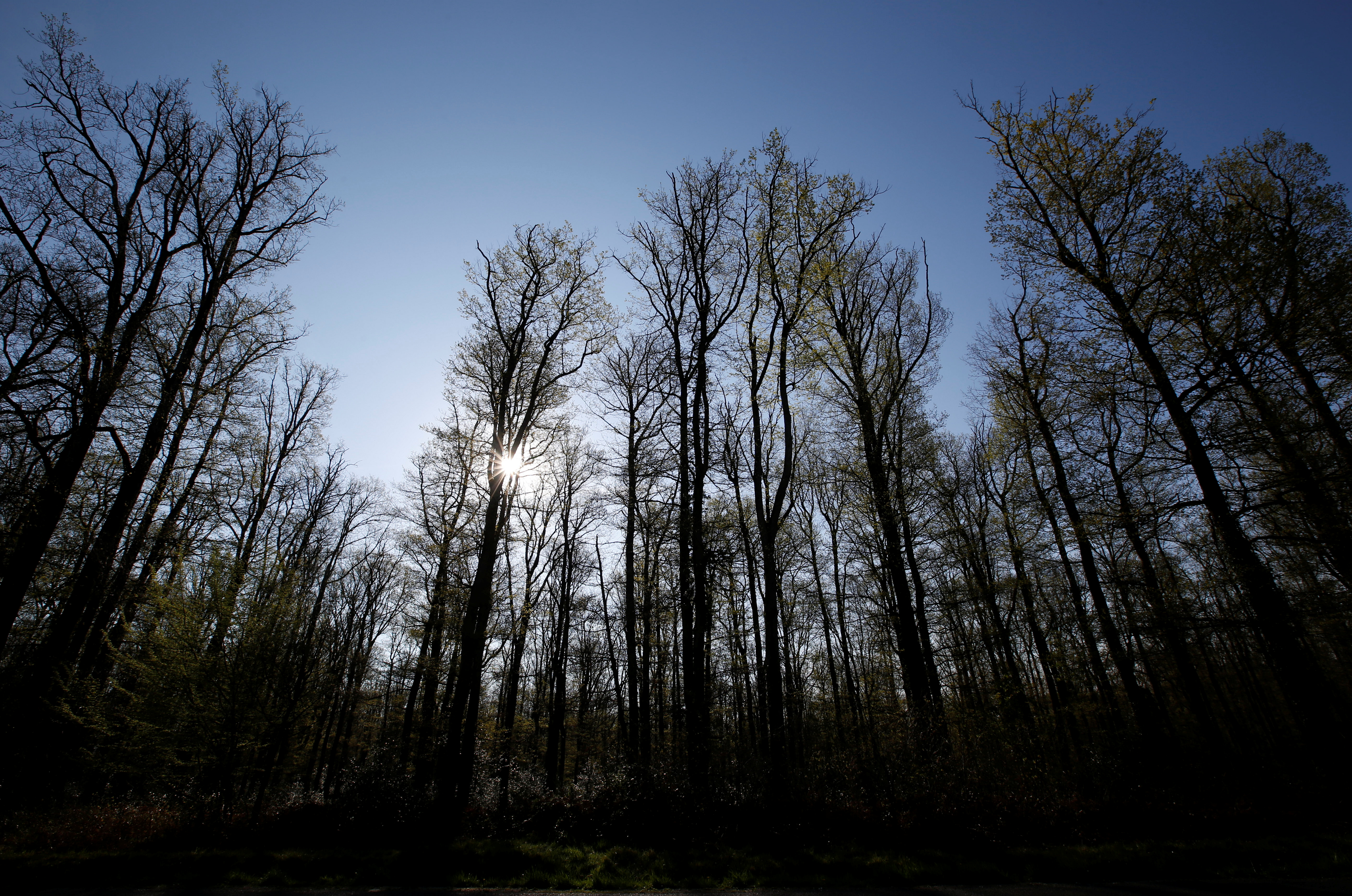 Oak trees are pictured in Chateauroux forest near Ardentes, central France, days after a massive fire devastated the roof's wooden beam structure of the gothic Paris' Notre-Dame Cathedral, April 19, 2019. REUTERS/Regis Duvignau/Files