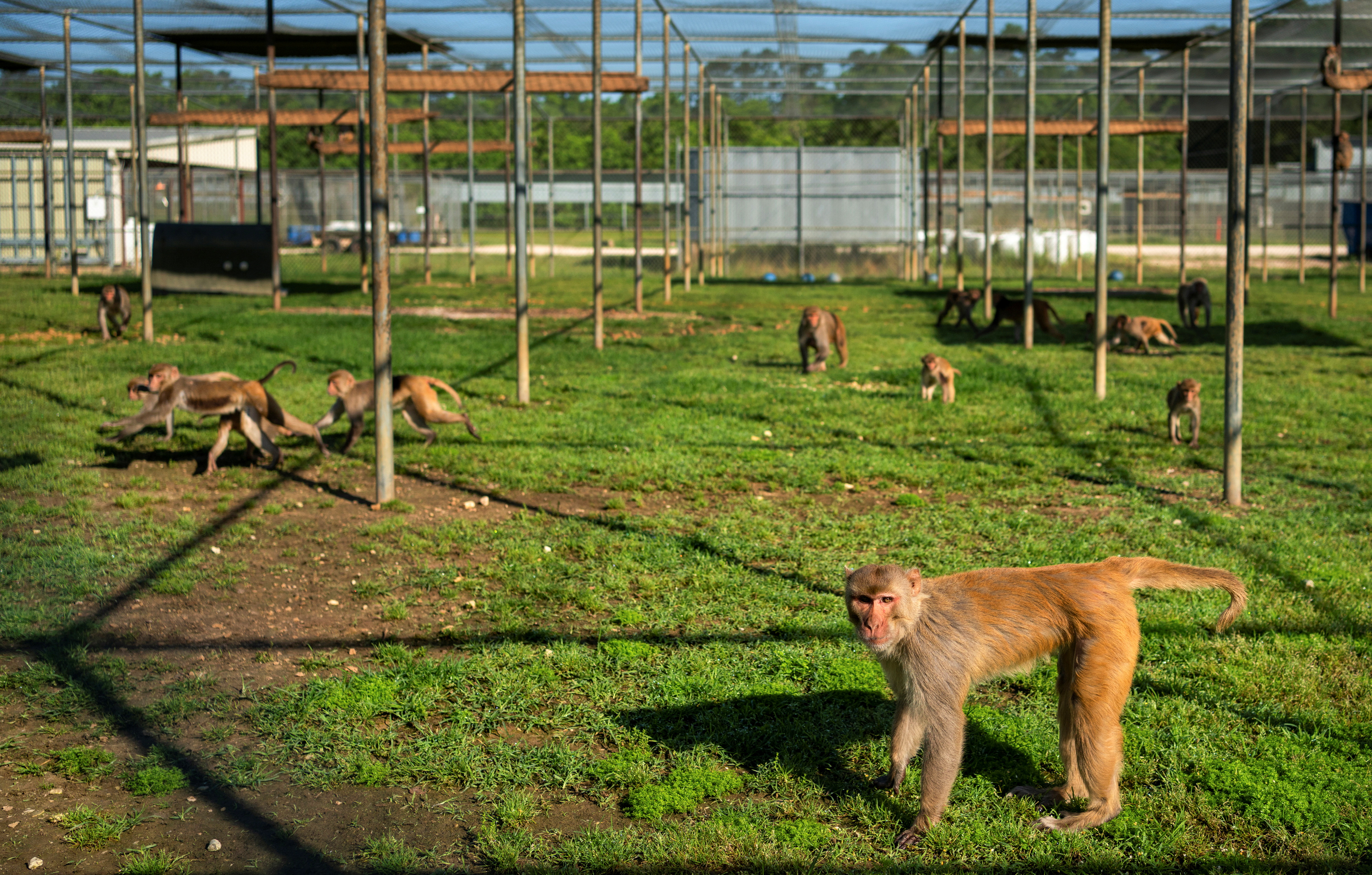 Rhesus macaque monkeys feed at the Tulane National Primate Research Center where the focus of study has shifted to the coronavirus disease (COVID-19) pandemic, in Covington, Louisiana, U.S., May 14, 2021. Picture taken May 14, 2021. REUTERS/Kathleen Flynn