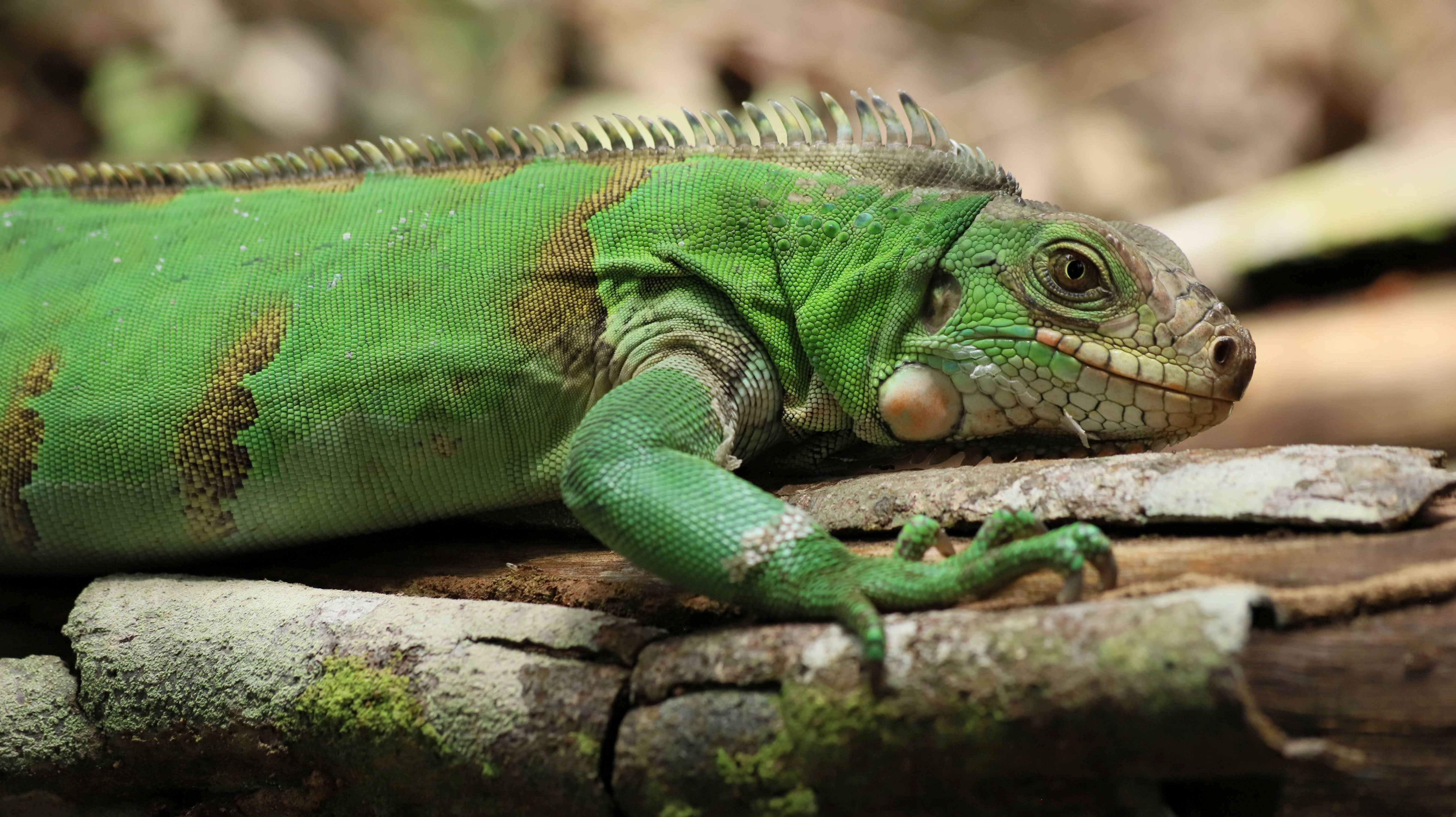 A iguana is pictured after it was released along with other animals, which were seized and rehabilitated by authorities fighting wildlife trafficking, into lagoons and forests in Colombia's Meta province, in Puerto Lopez, Colombia July 24, 2021. Picture taken July 24, 2021. Bogota's city environment office/Handout via REUTERS