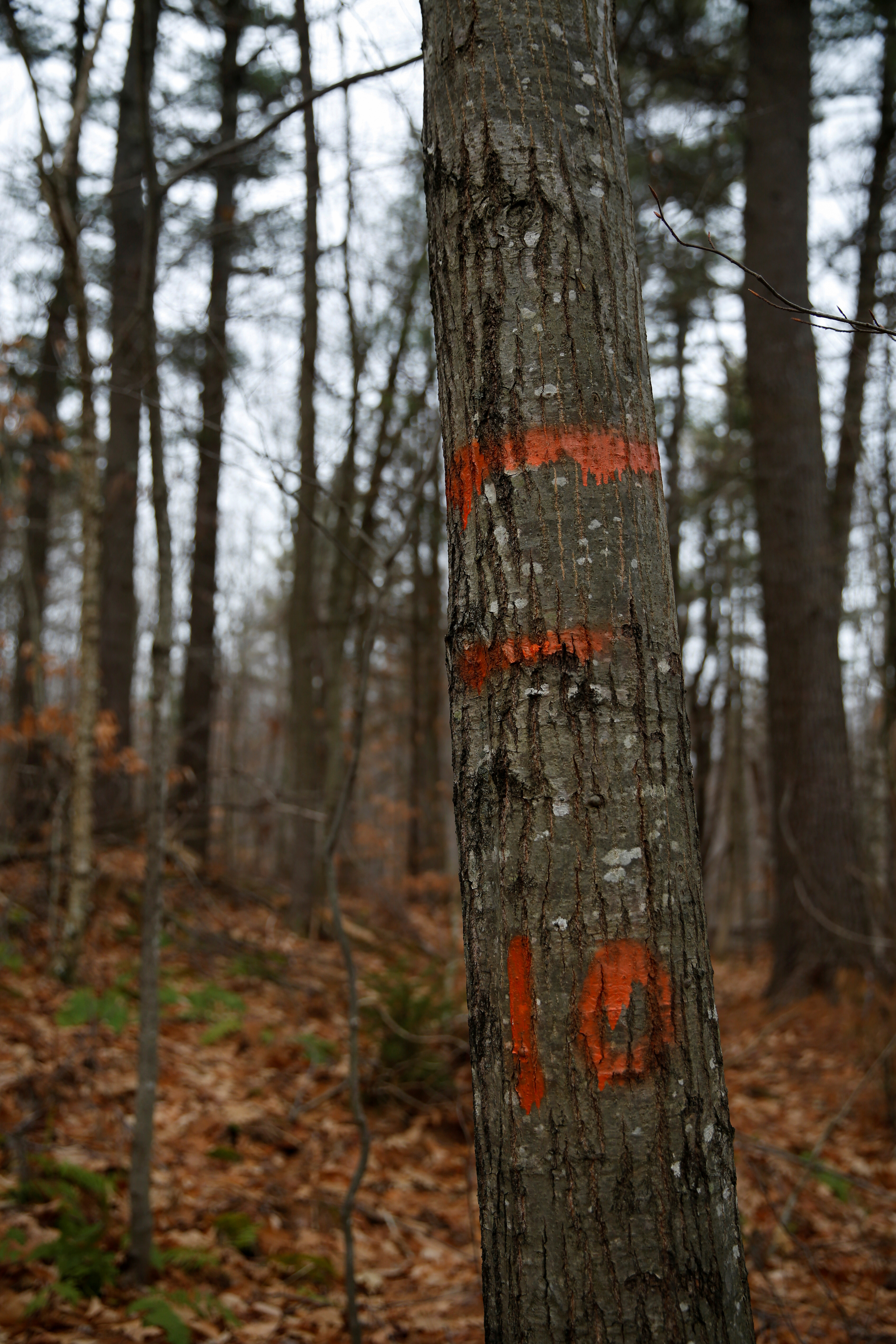 Markings made during a carbon content assessment are seen on trees in the Hersey Mountain Wilderness, owned by New England Forestry Foundation, in New Hampton, New Hampshire, U.S., December 4, 2020.  REUTERS/Elizabeth Frantz