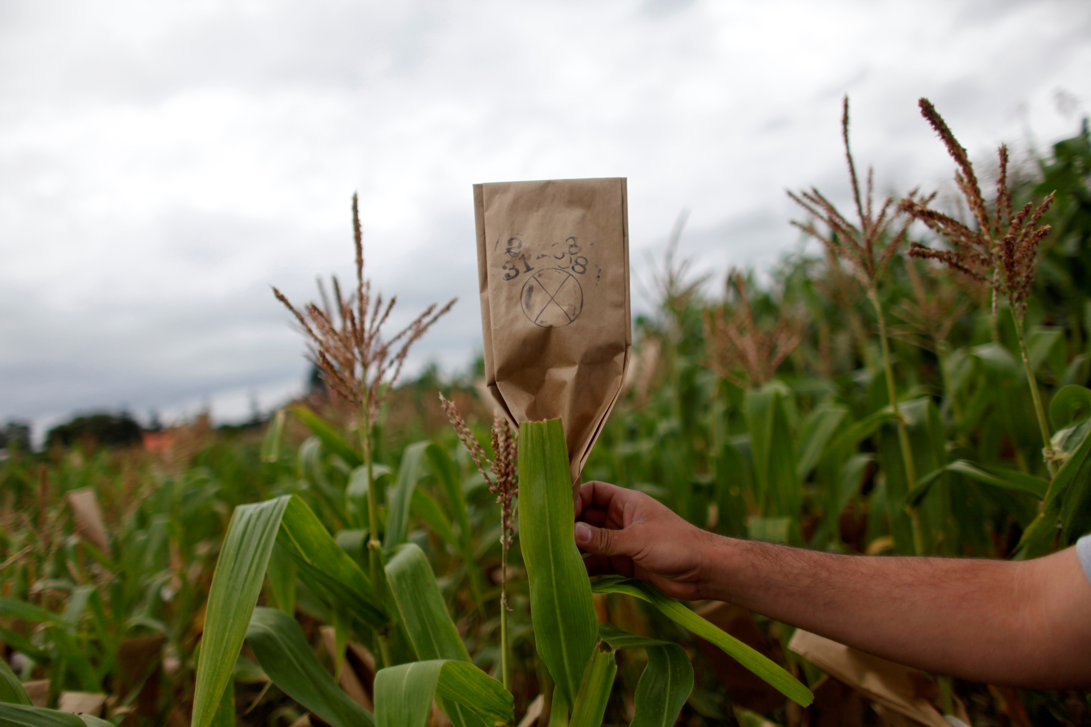 A scientist puts up a mark in a maize field at the International Maize and Wheat Improvement Center (CIMMYT) in El Batan on the outskirts of Mexico City August 31, 2010. REUTERS/Eliana Aponte/File Photo