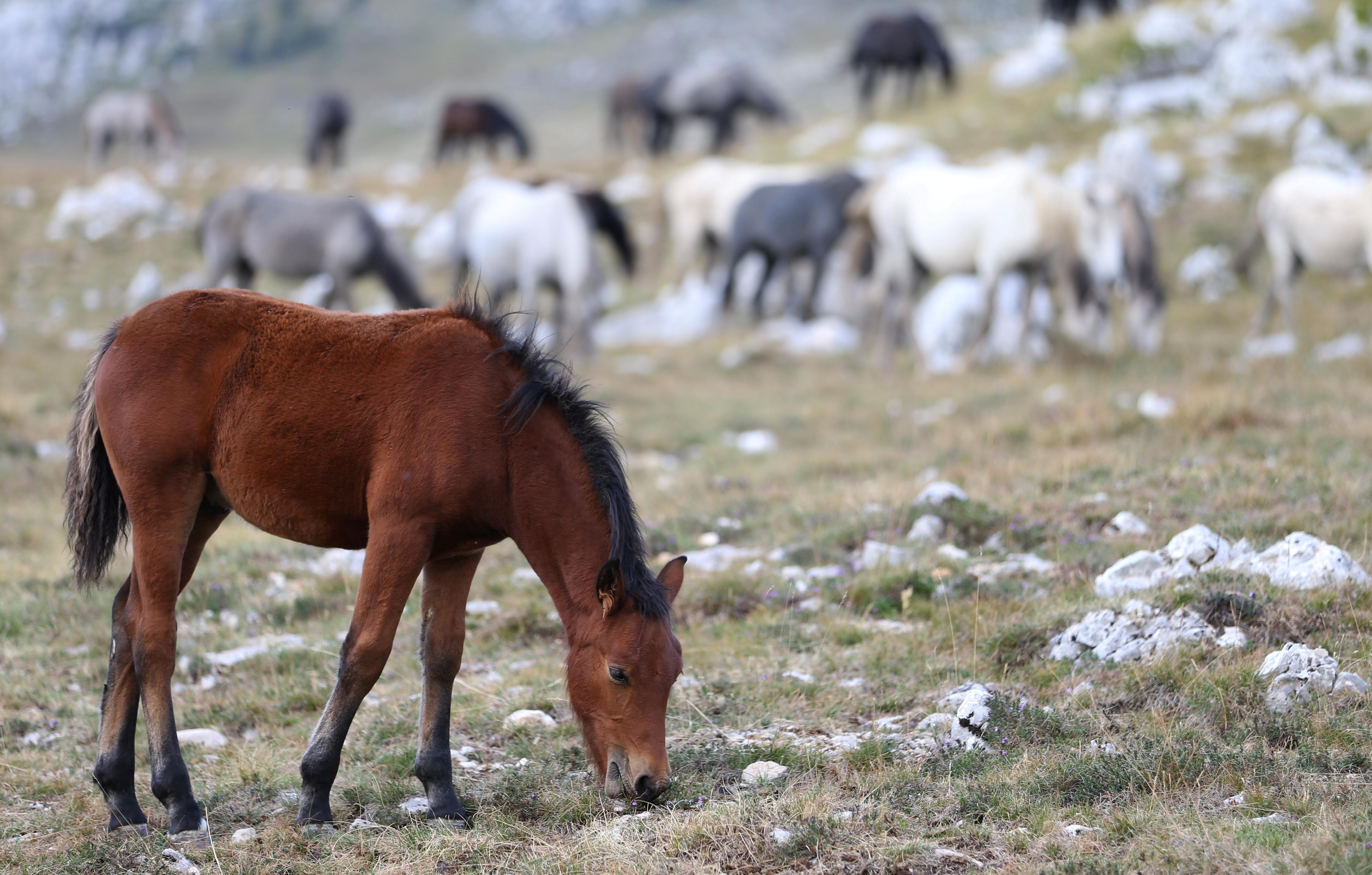 Wild horses graze the grass on Cincar Mountain near Livno, Bosnia and Herzegovina September 13, 2021. REUTERS/Dado Ruvic