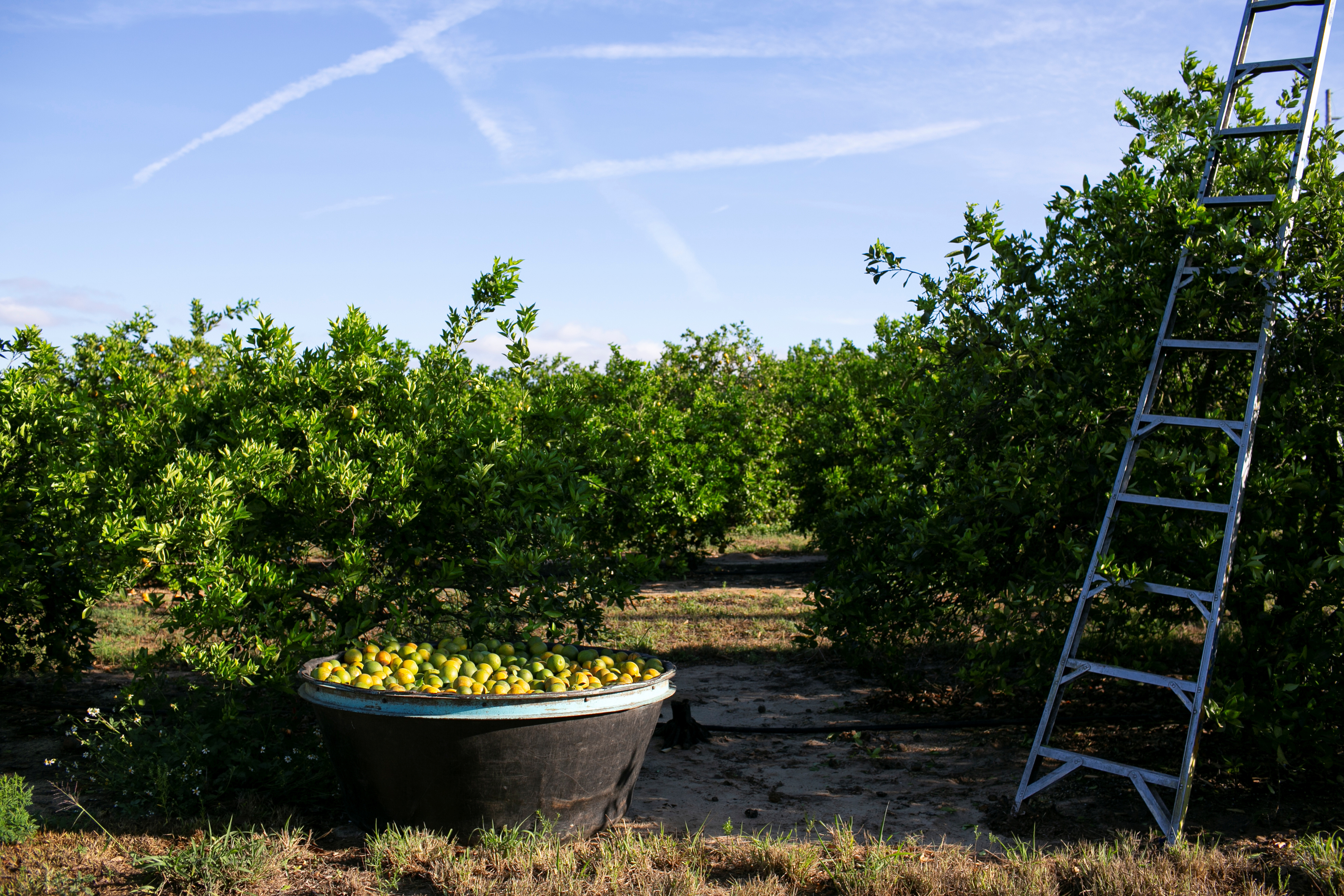 A view of a container filled with oranges and a ladder during a harvest at a farm in Lake Wales, Florida, U.S., April 1, 2020. REUTERS/Marco Bello